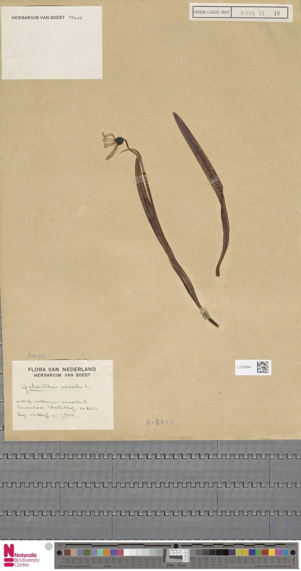 L.3153844 | Galanthus nivalis L.