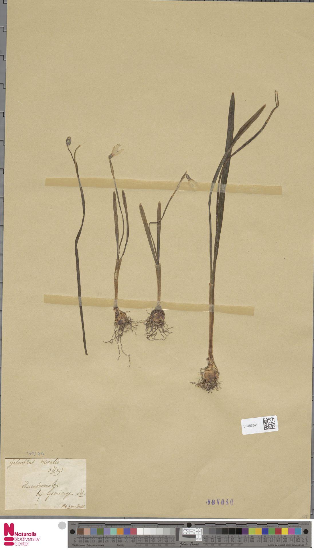 L.3153845   Galanthus nivalis L.