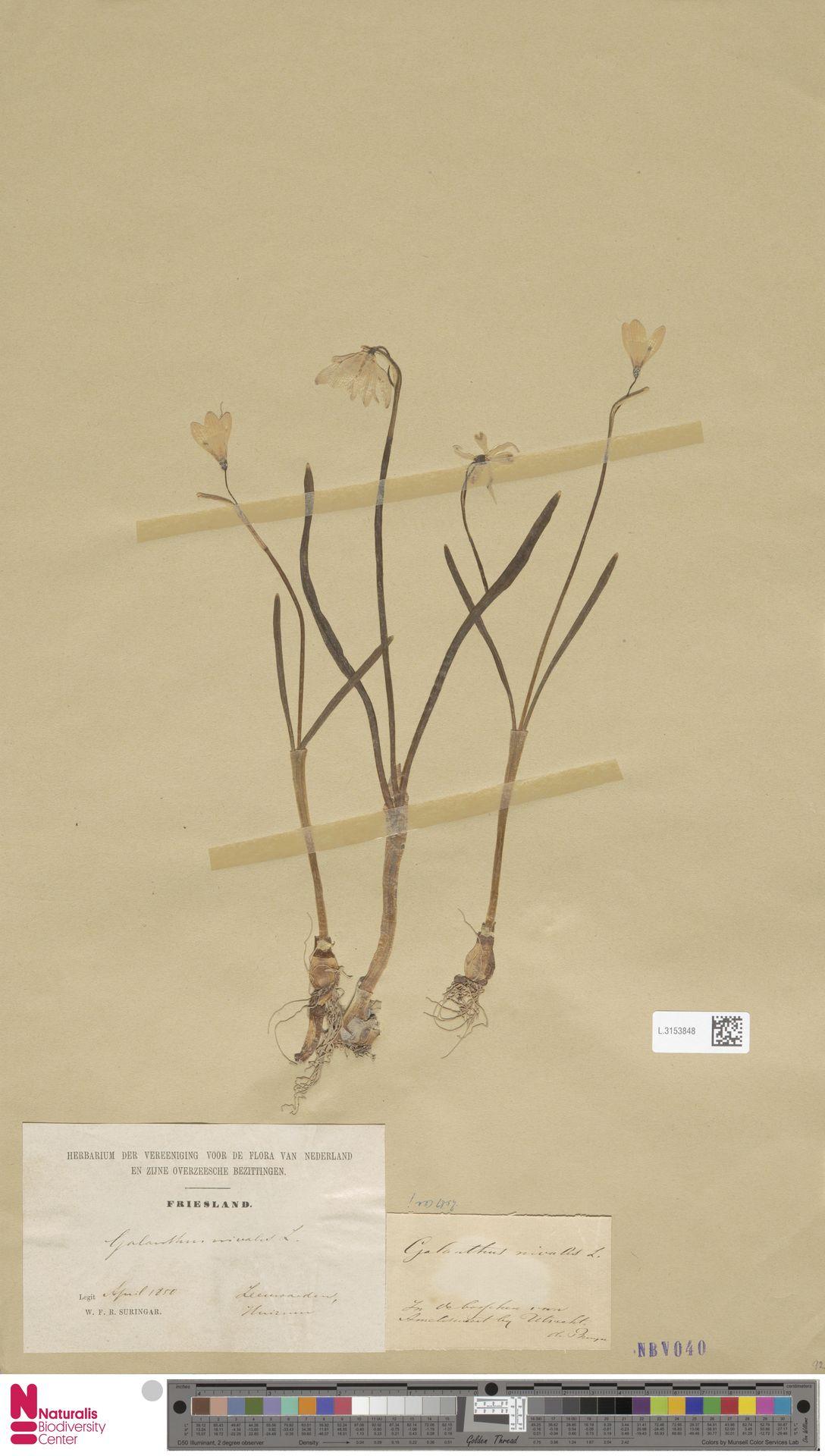 L.3153848   Galanthus nivalis L.