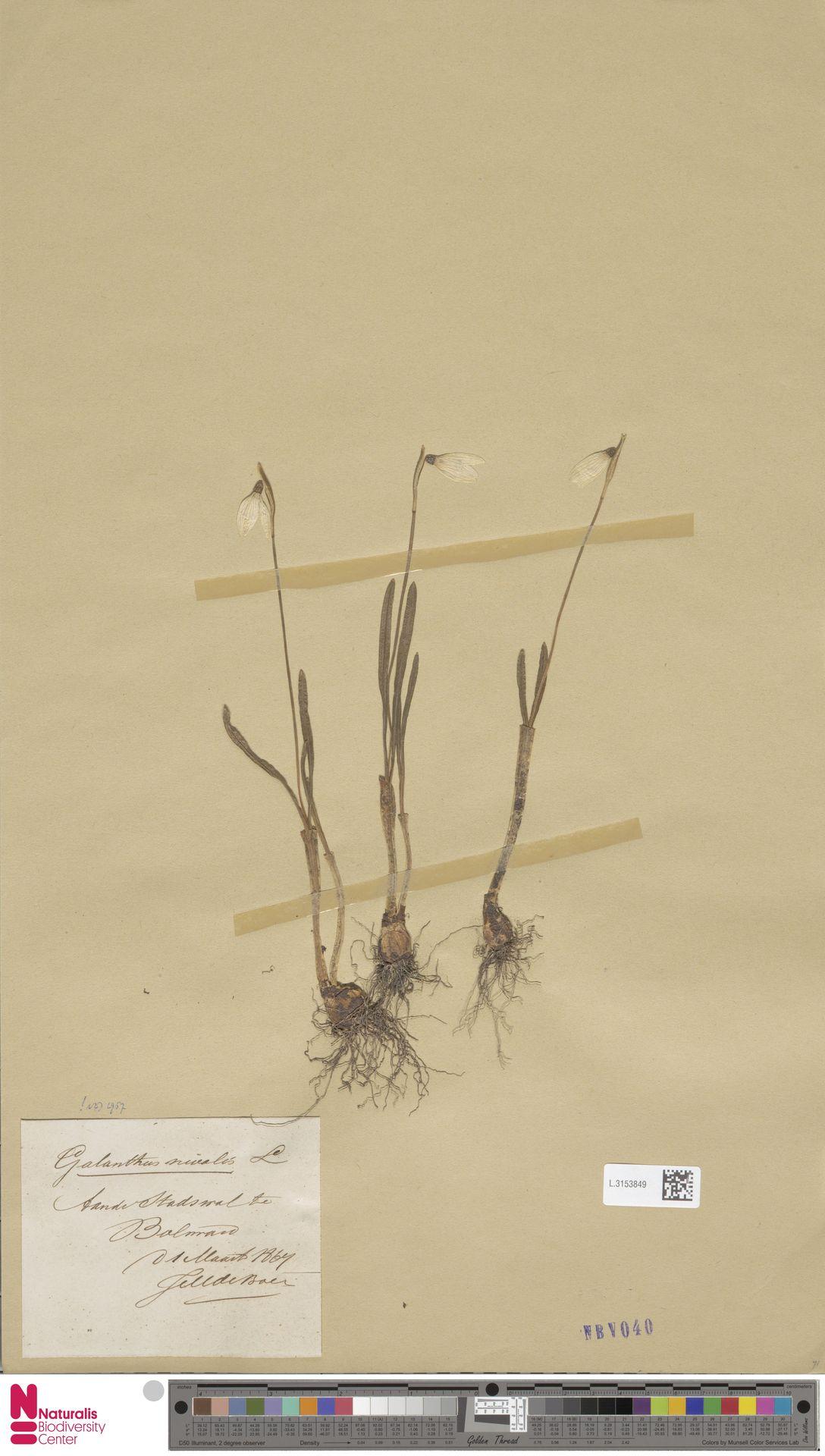 L.3153849 | Galanthus nivalis L.