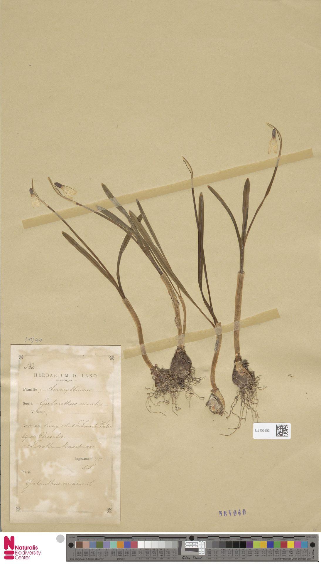 L.3153853 | Galanthus nivalis L.