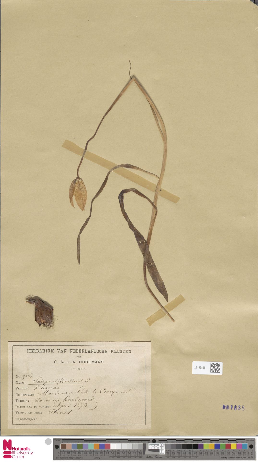 L.3153858   Tulipa sylvestris L.