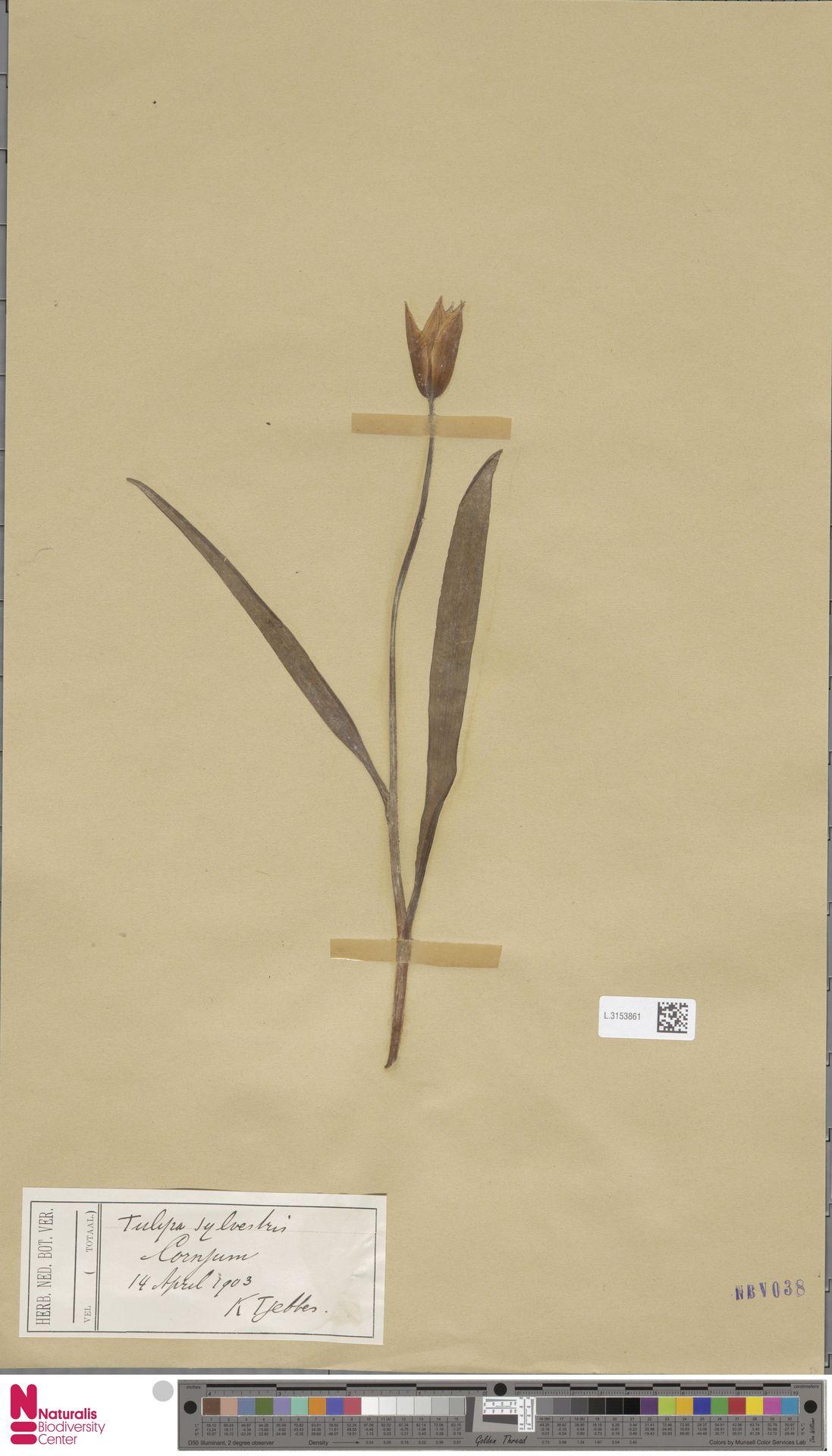 L.3153861 | Tulipa sylvestris L.