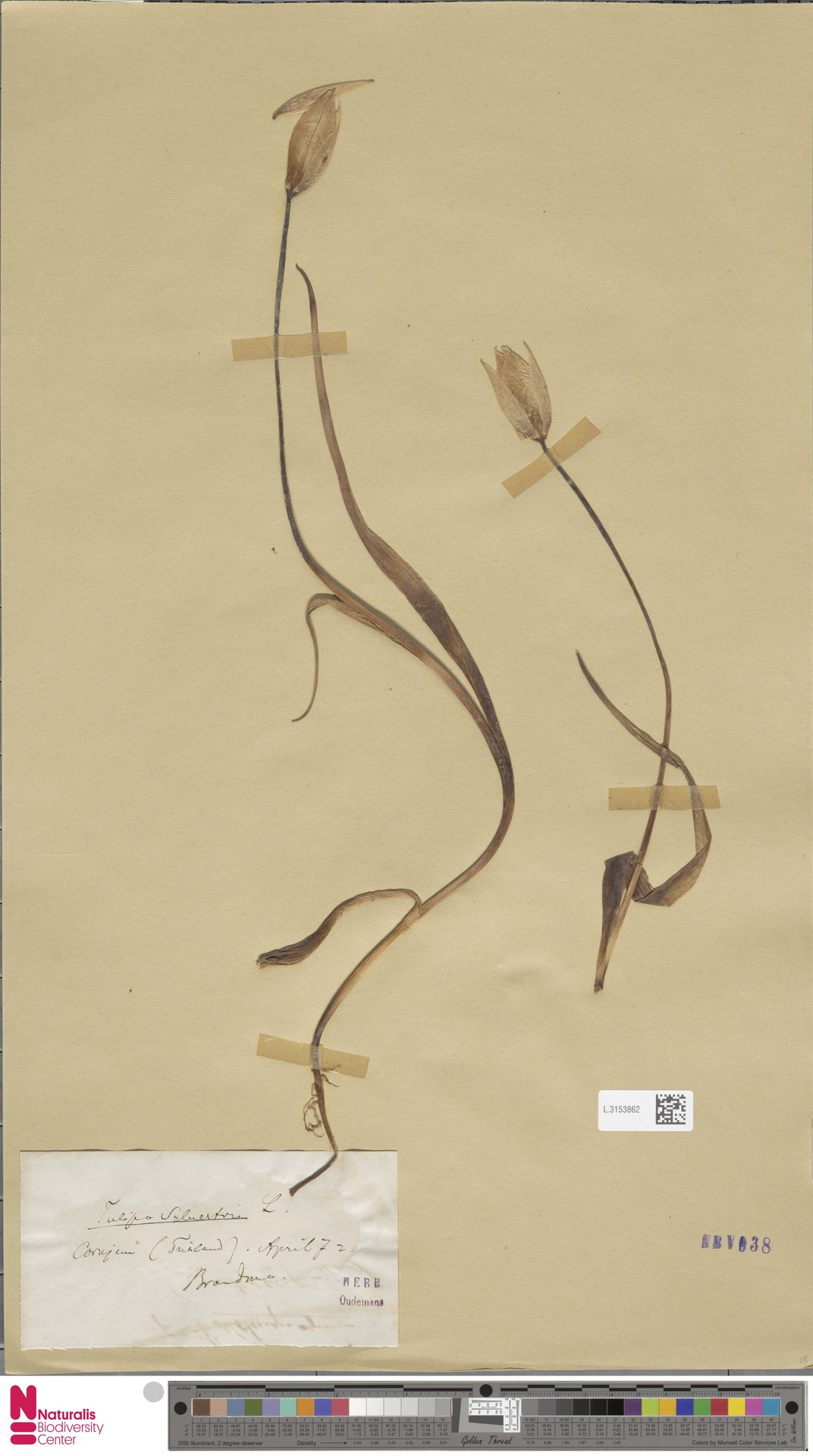 L.3153862   Tulipa sylvestris L.