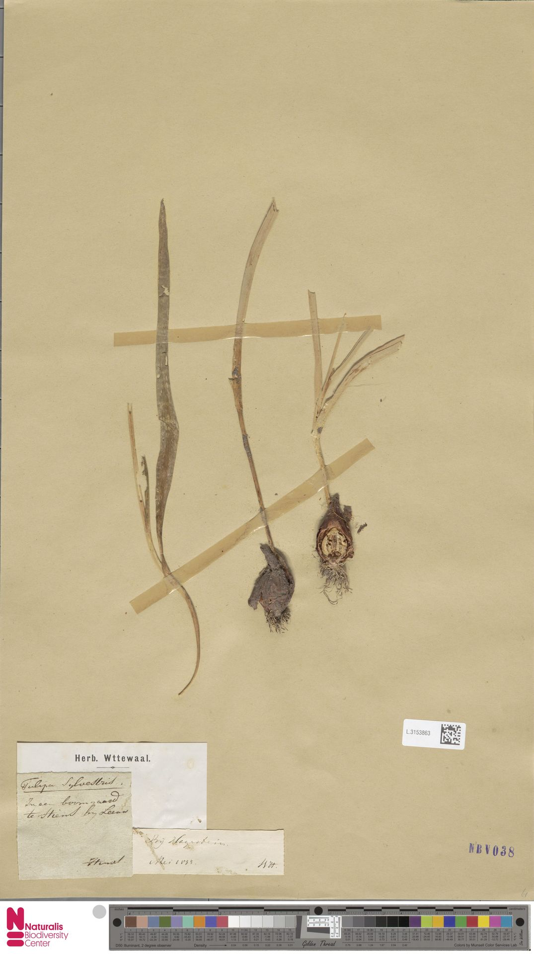 L.3153863 | Tulipa sylvestris L.