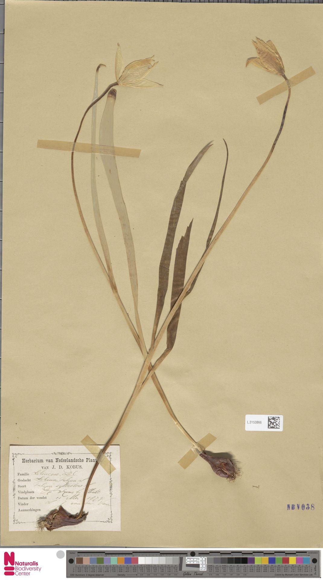 L.3153866 | Tulipa sylvestris L.
