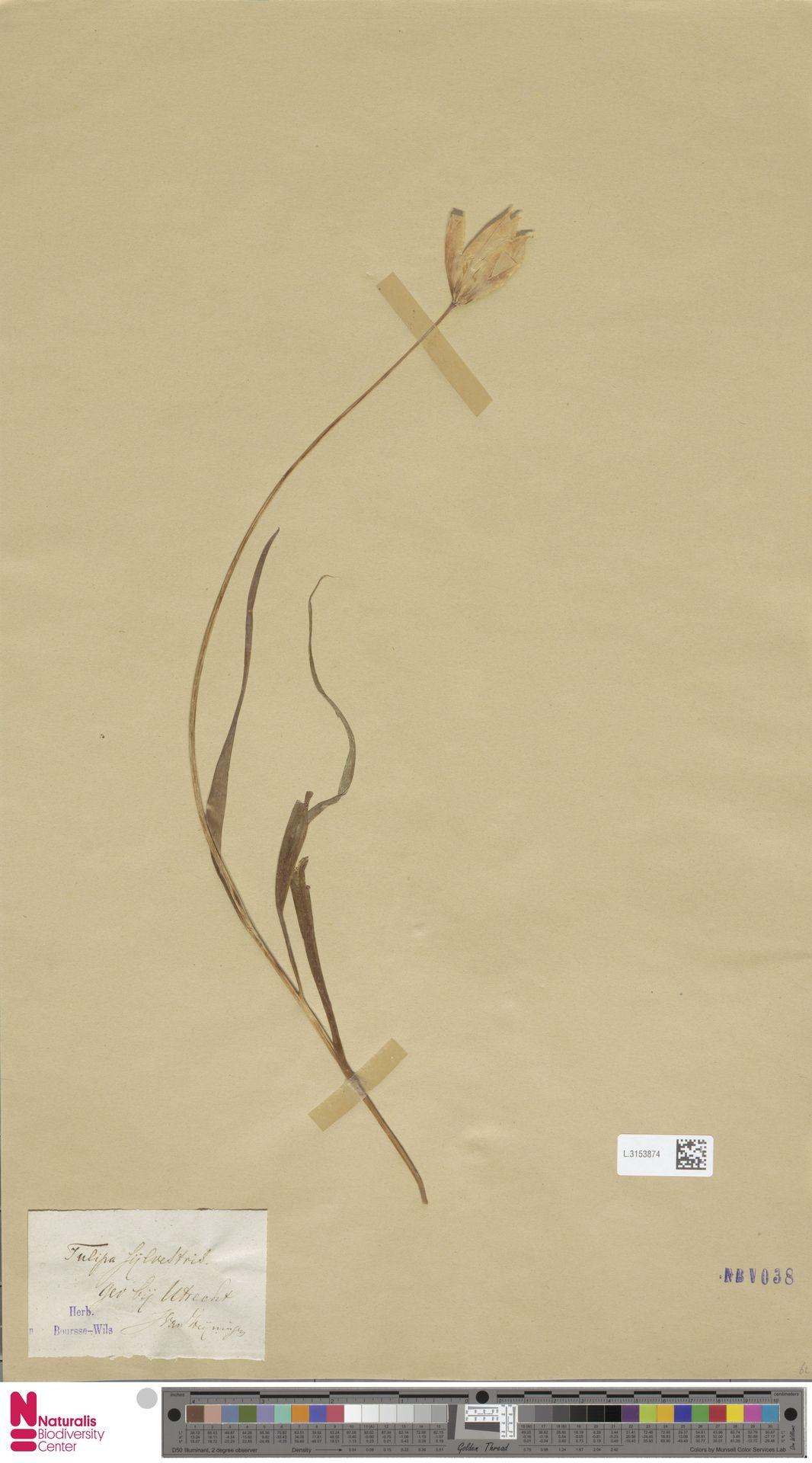 L.3153874   Tulipa sylvestris L.