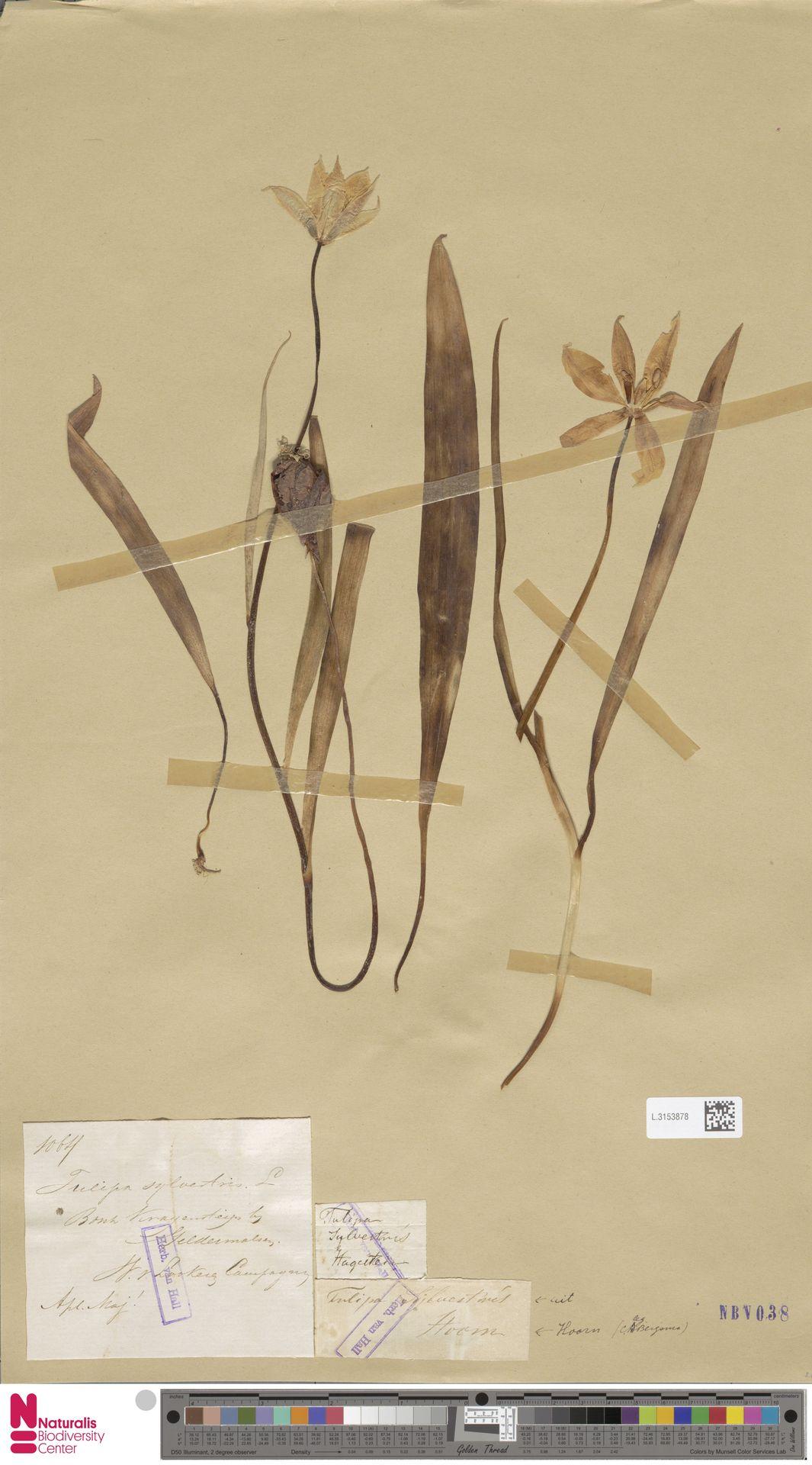 L.3153878 | Tulipa sylvestris L.