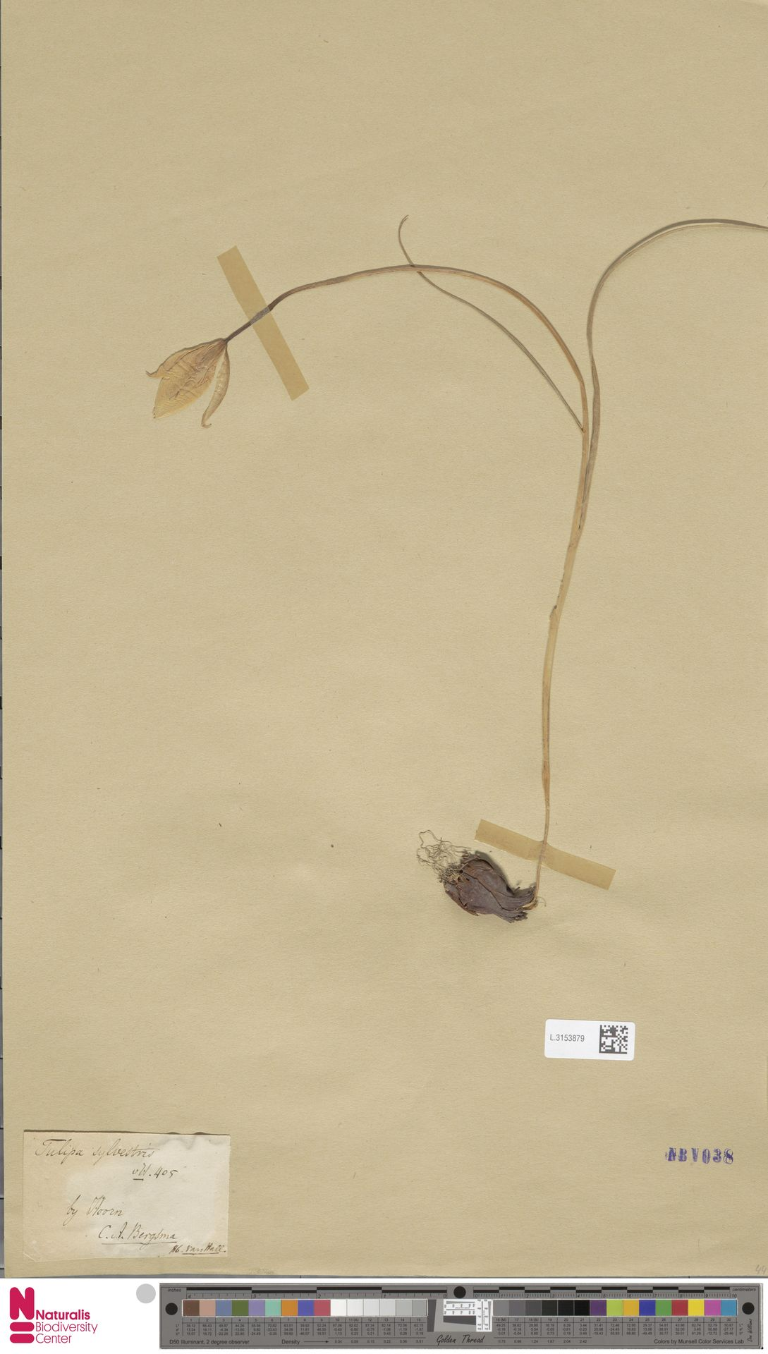 L.3153879 | Tulipa sylvestris L.