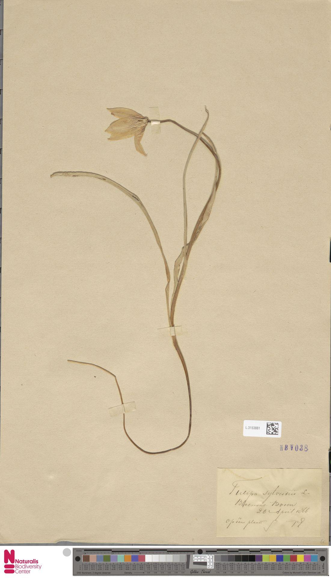 L.3153881 | Tulipa sylvestris L.