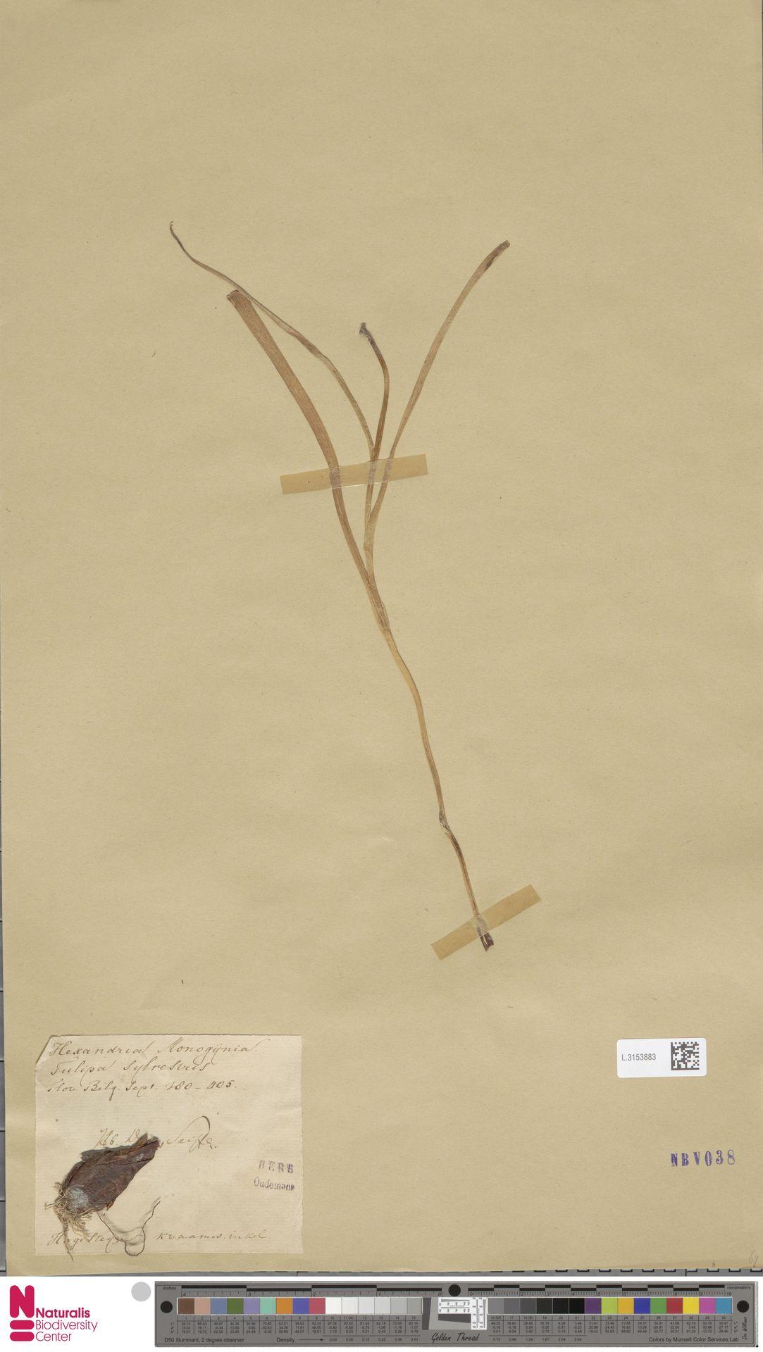 L.3153883 | Tulipa sylvestris L.
