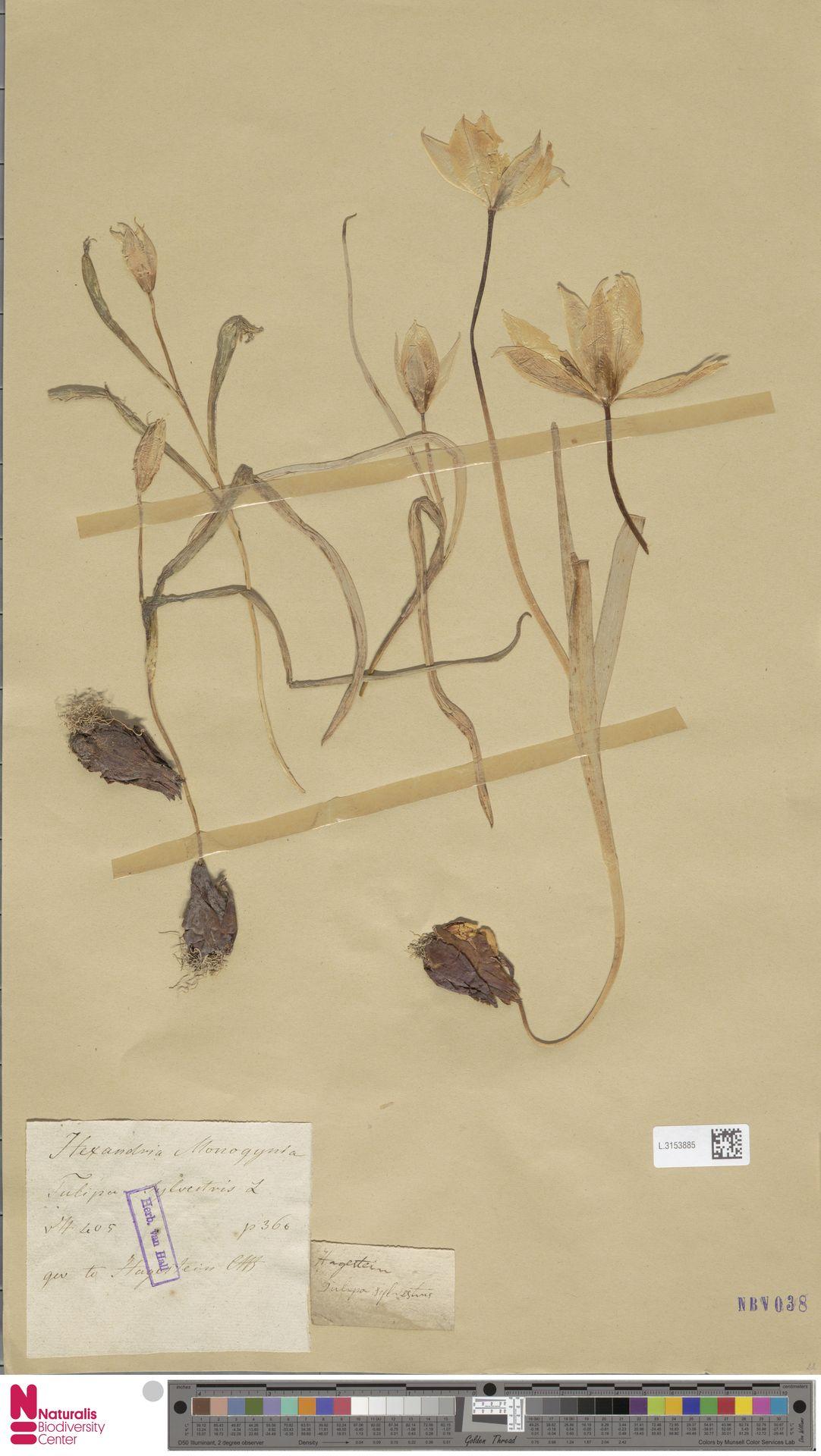 L.3153885 | Tulipa sylvestris L.
