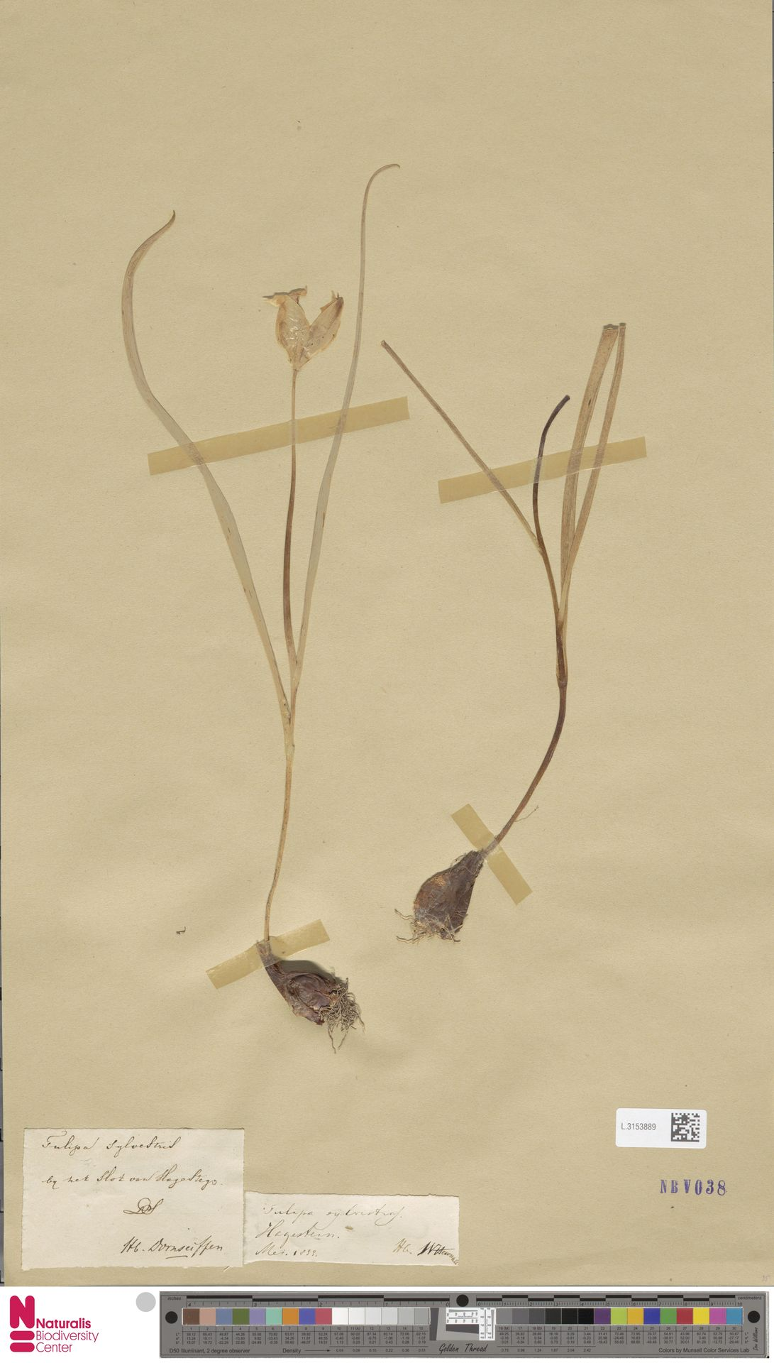 L.3153889 | Tulipa sylvestris L.