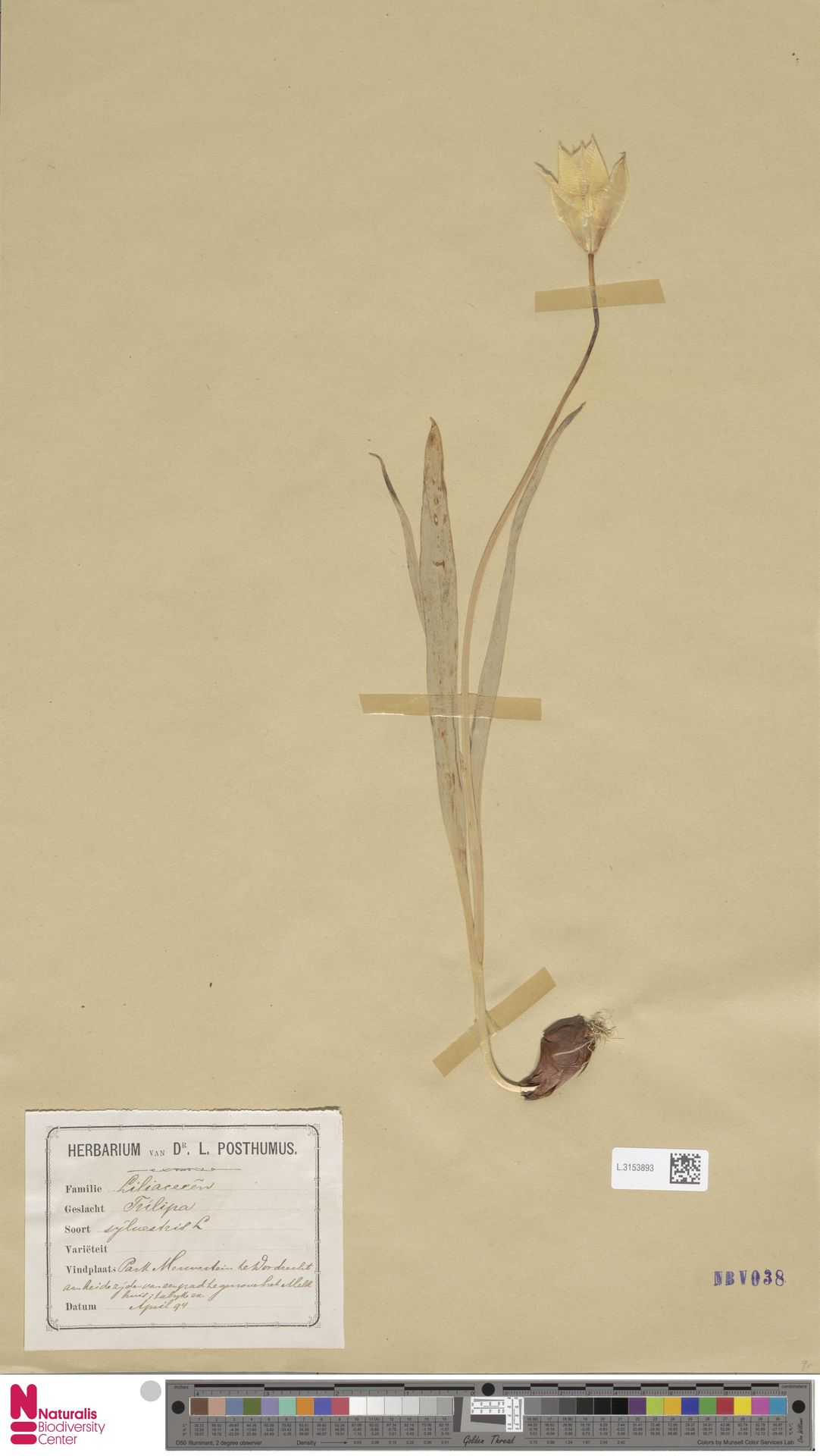 L.3153893 | Tulipa sylvestris L.