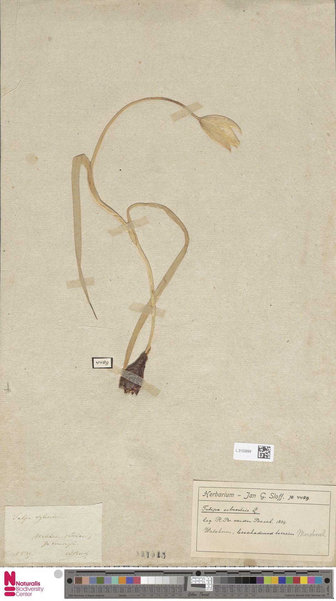 L.3153894 | Tulipa sylvestris L.