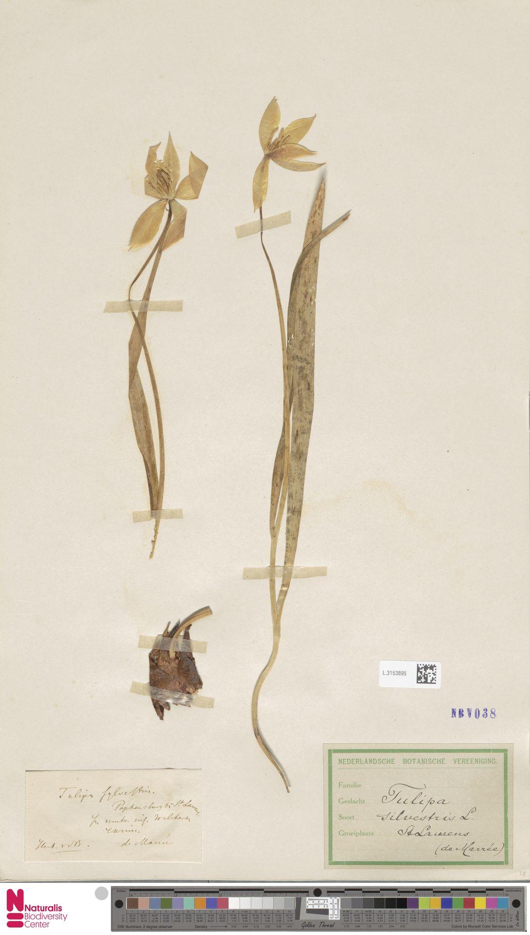 L.3153895   Tulipa sylvestris L.