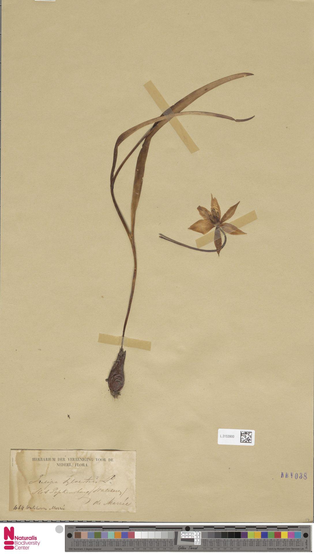 L.3153900   Tulipa sylvestris L.