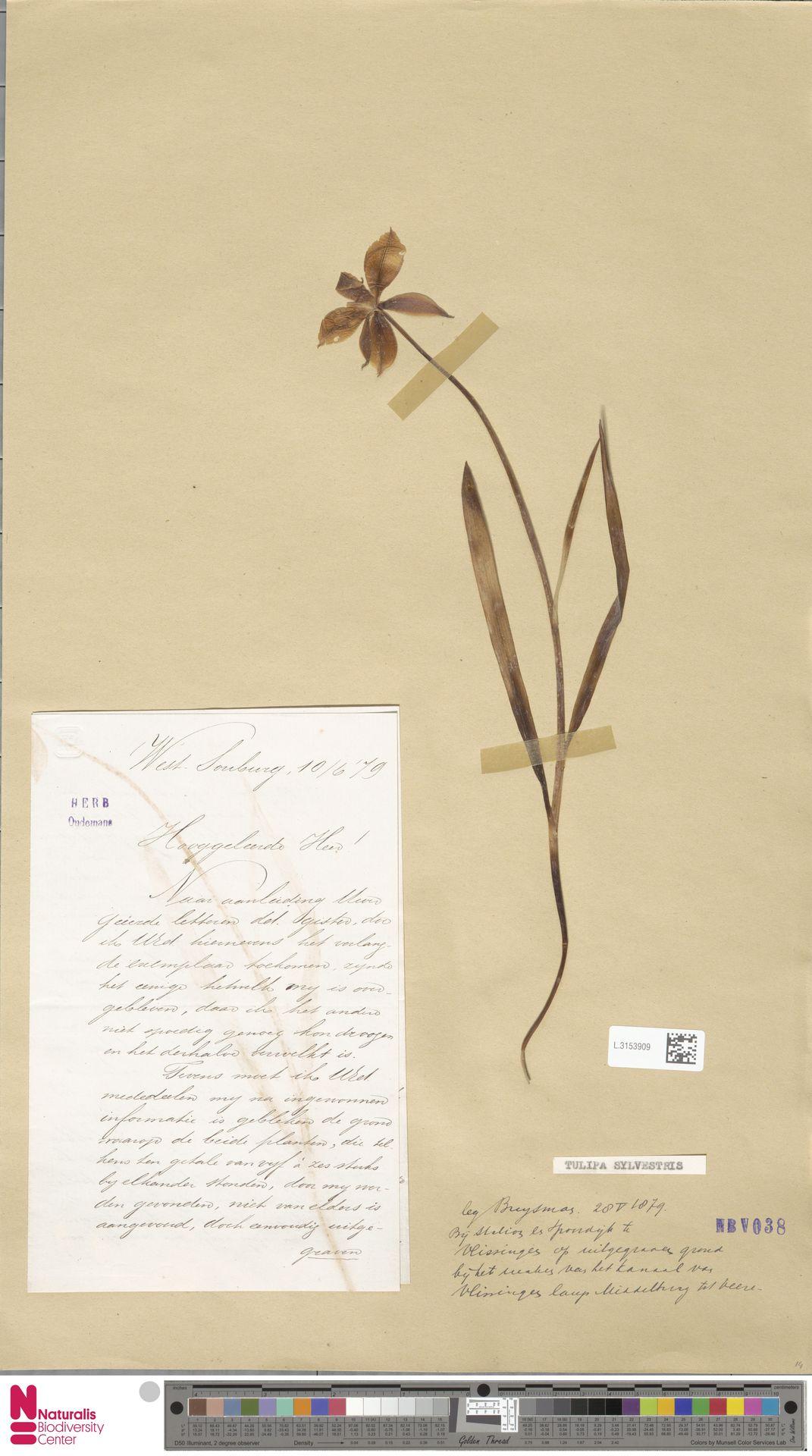 L.3153909 | Tulipa sylvestris L.