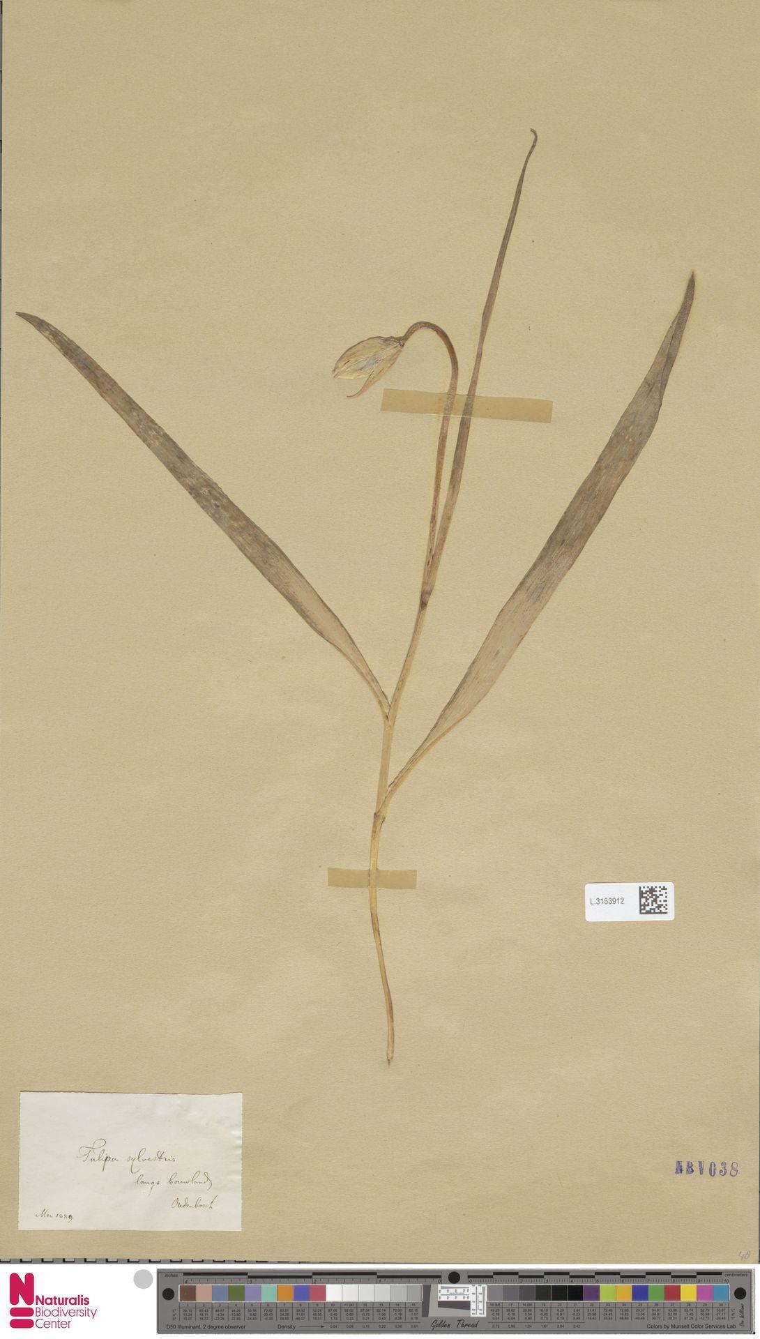 L.3153912 | Tulipa sylvestris L.