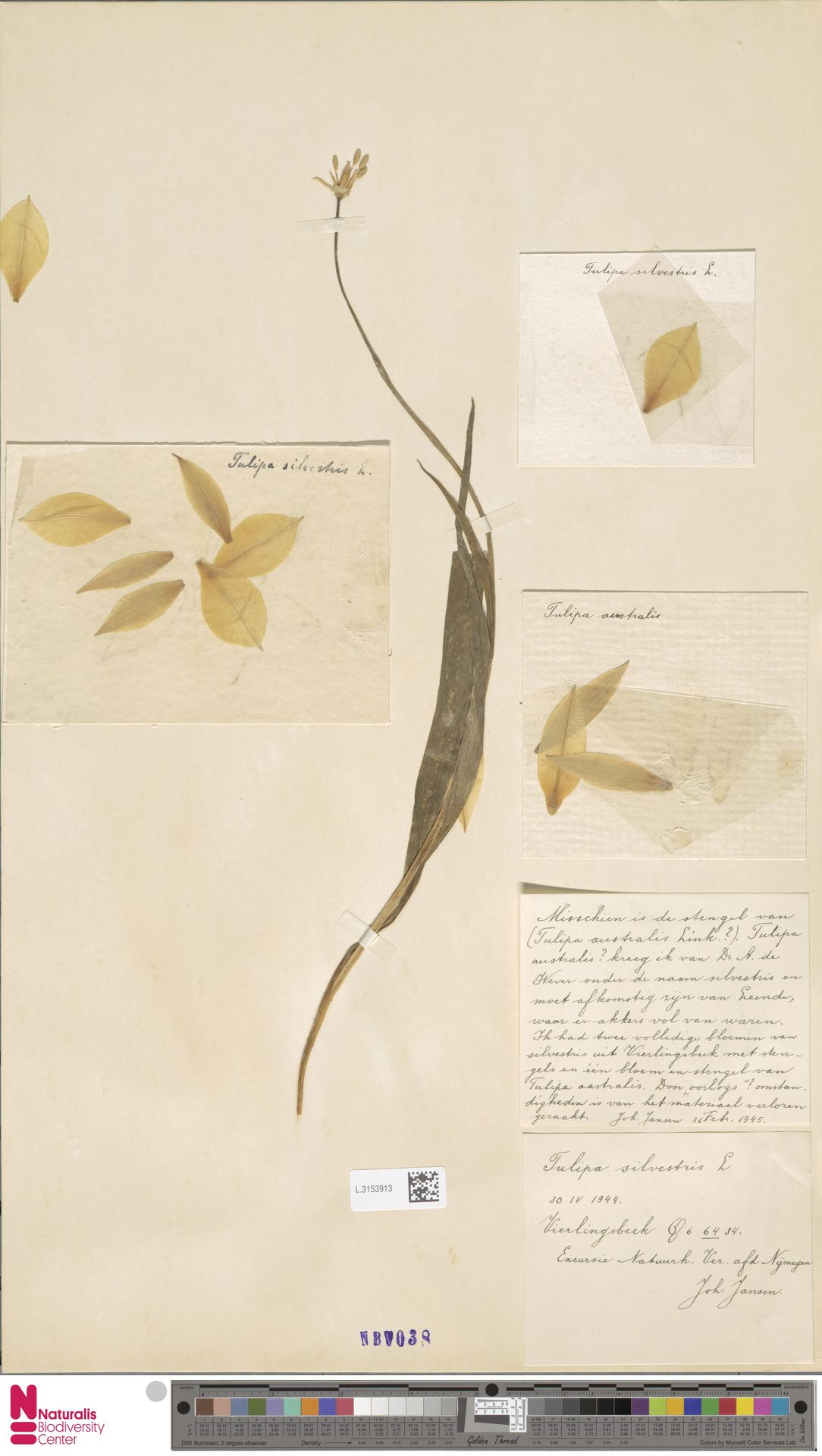 L.3153913 | Tulipa sylvestris L.