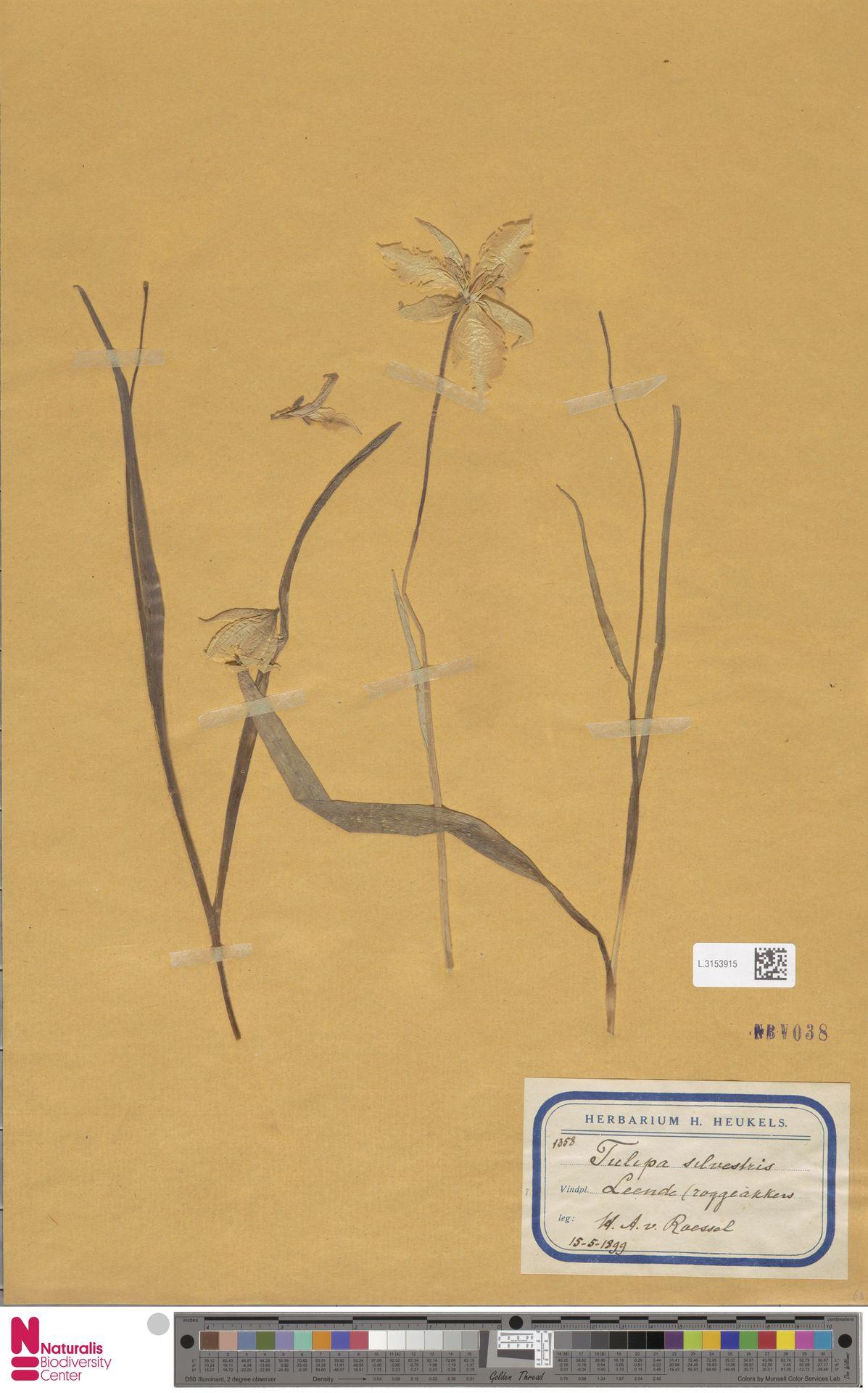 L.3153915 | Tulipa sylvestris L.