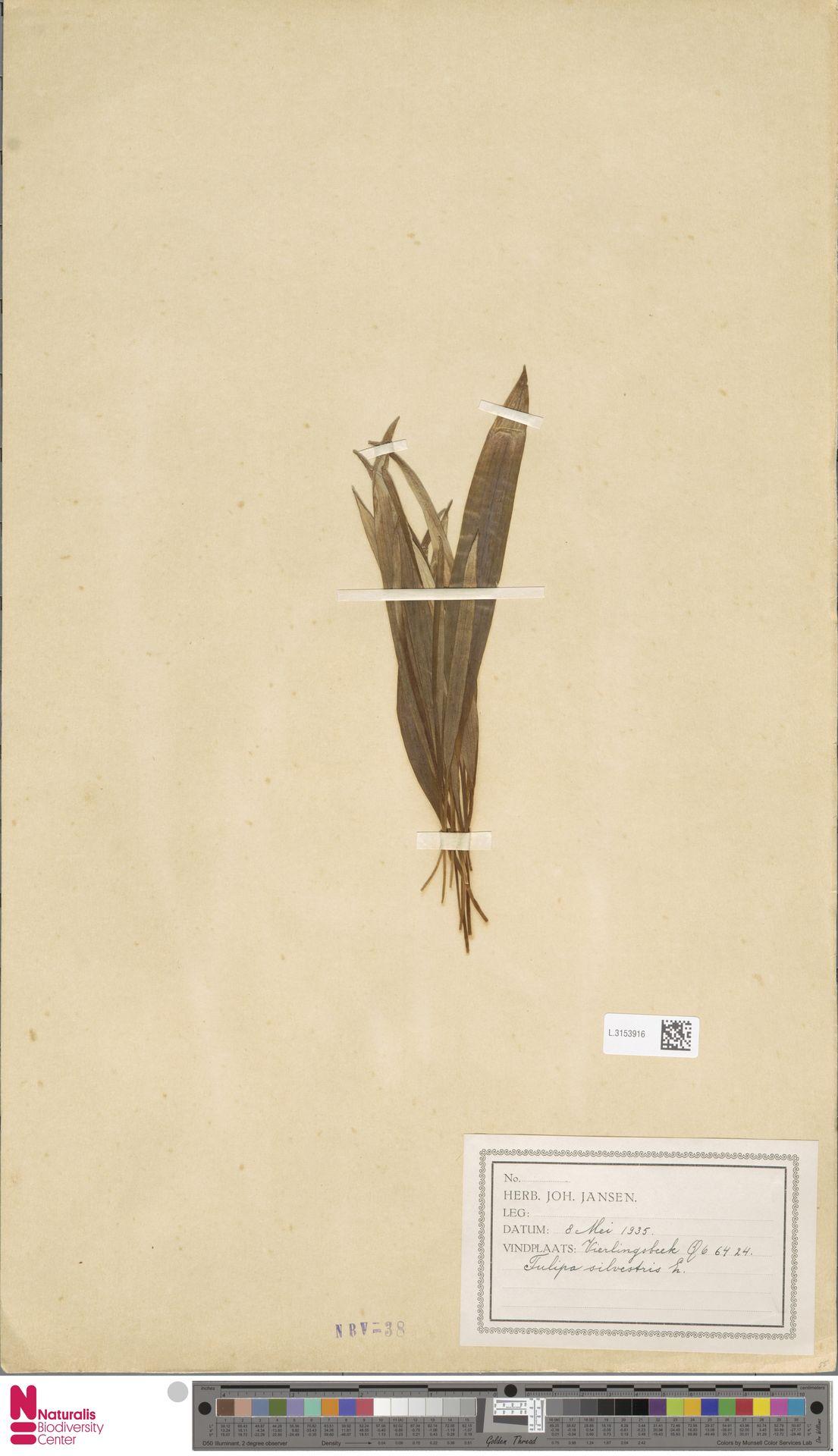 L.3153916 | Tulipa sylvestris L.