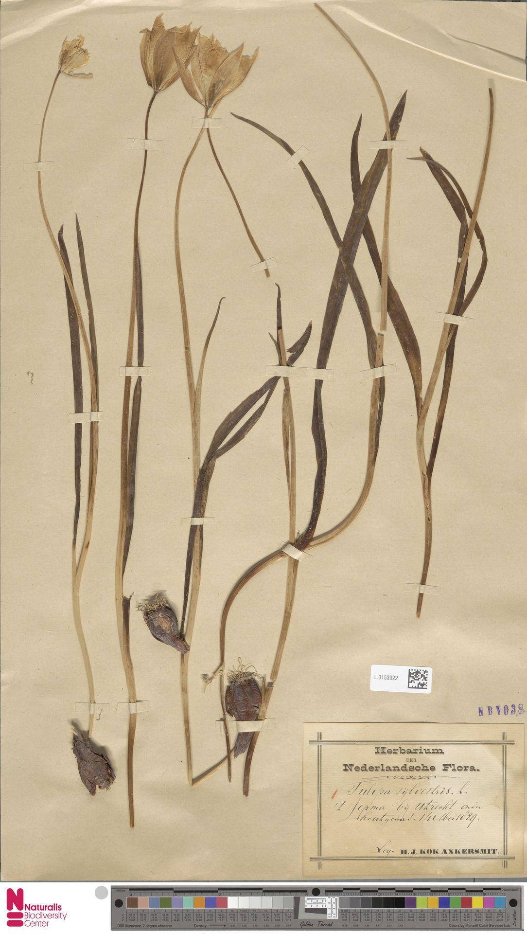 L.3153922 | Tulipa sylvestris L.