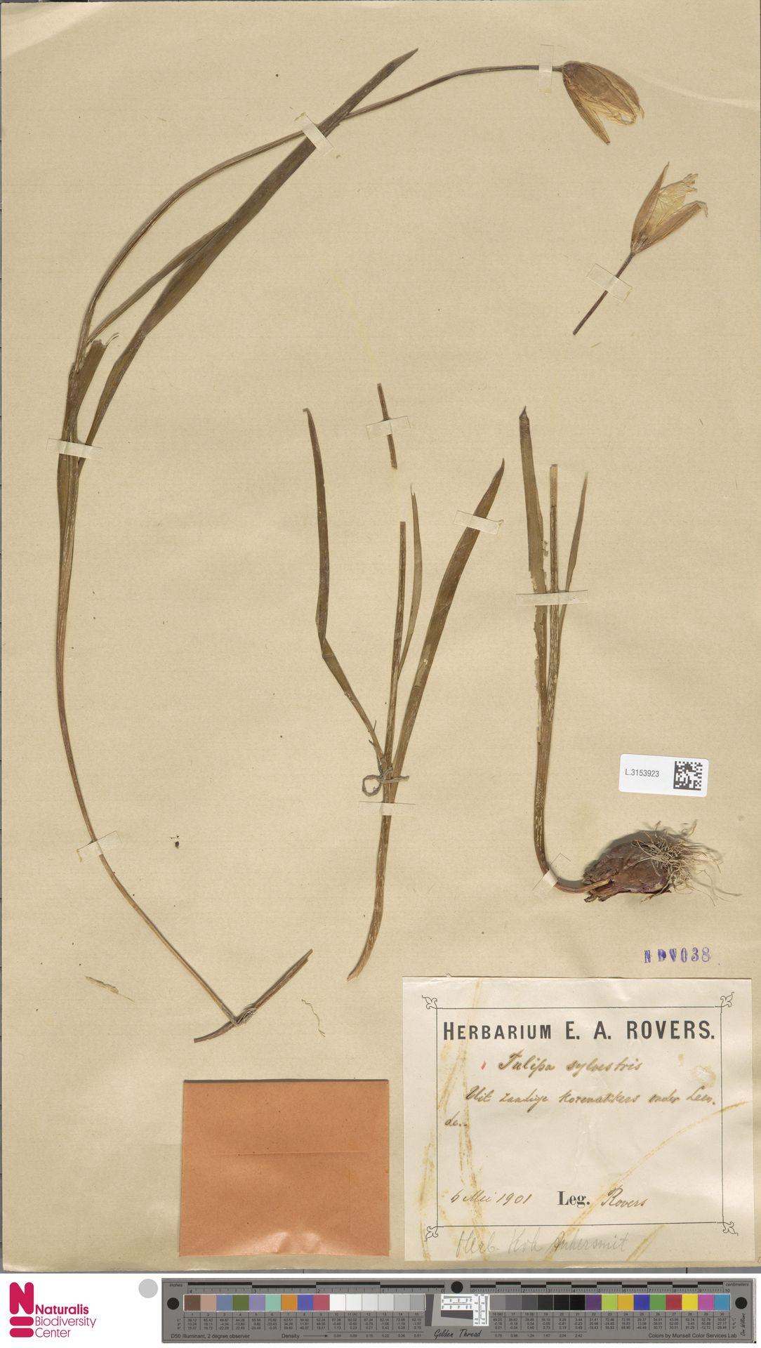L.3153923 | Tulipa sylvestris L.