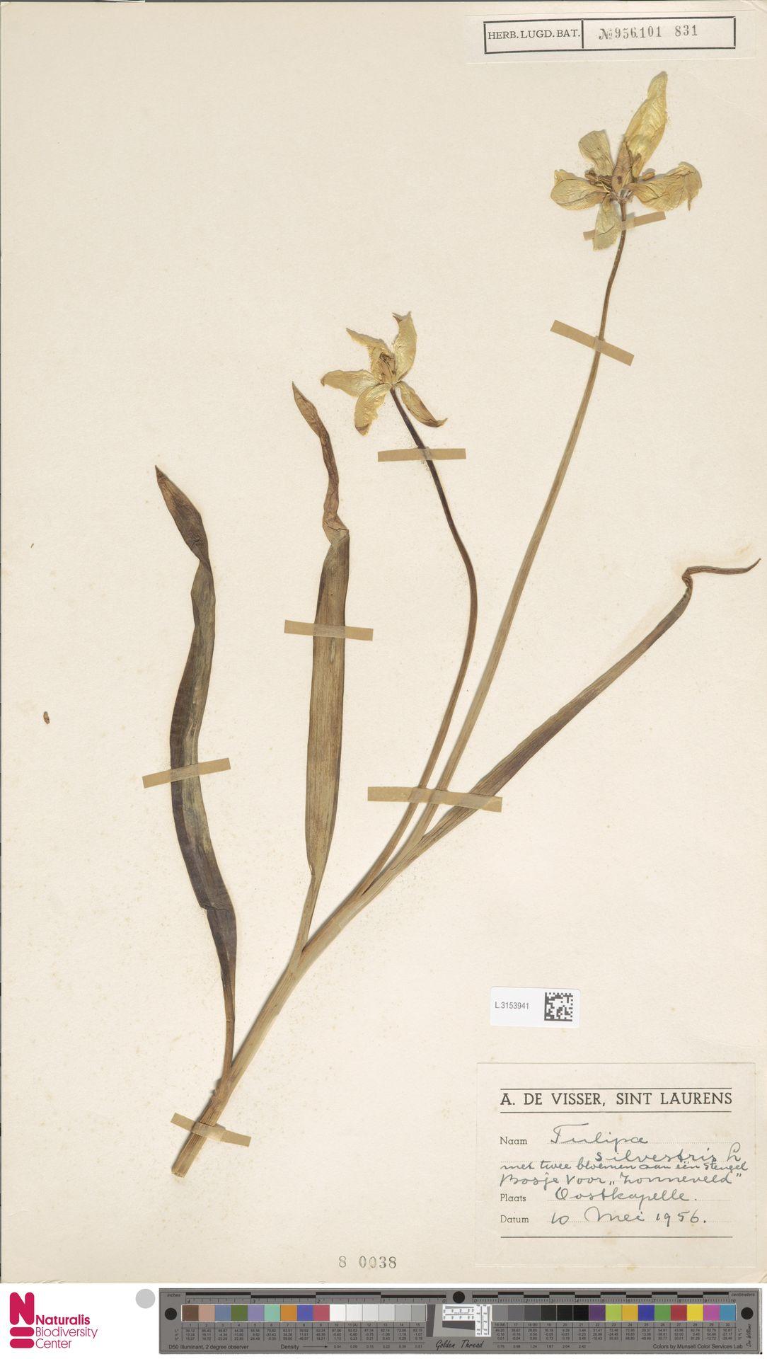 L.3153941 | Tulipa sylvestris L.