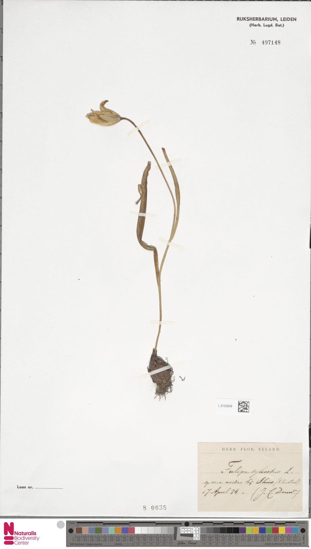L.3153949   Tulipa sylvestris L.