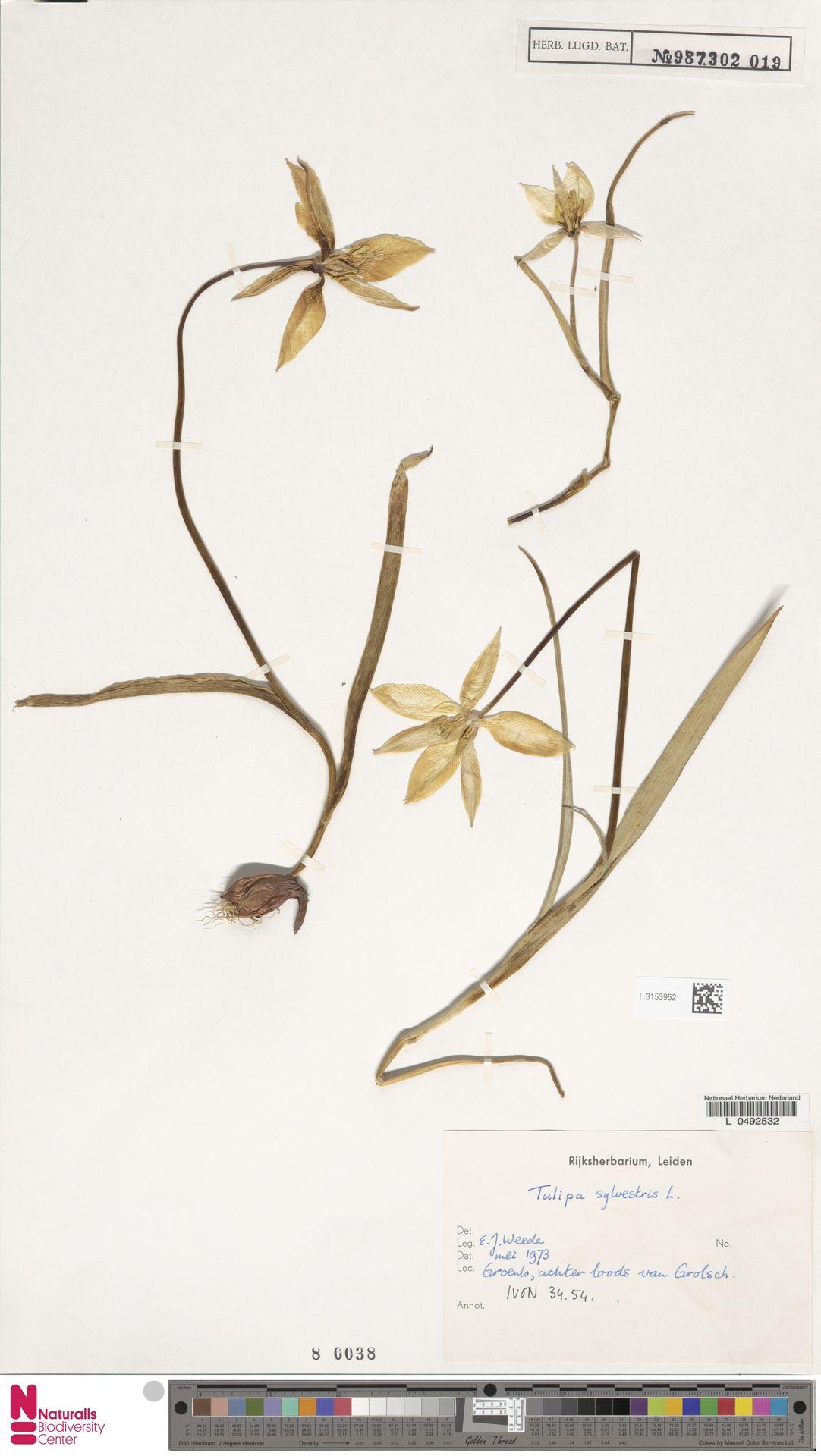 L.3153952 | Tulipa sylvestris L.