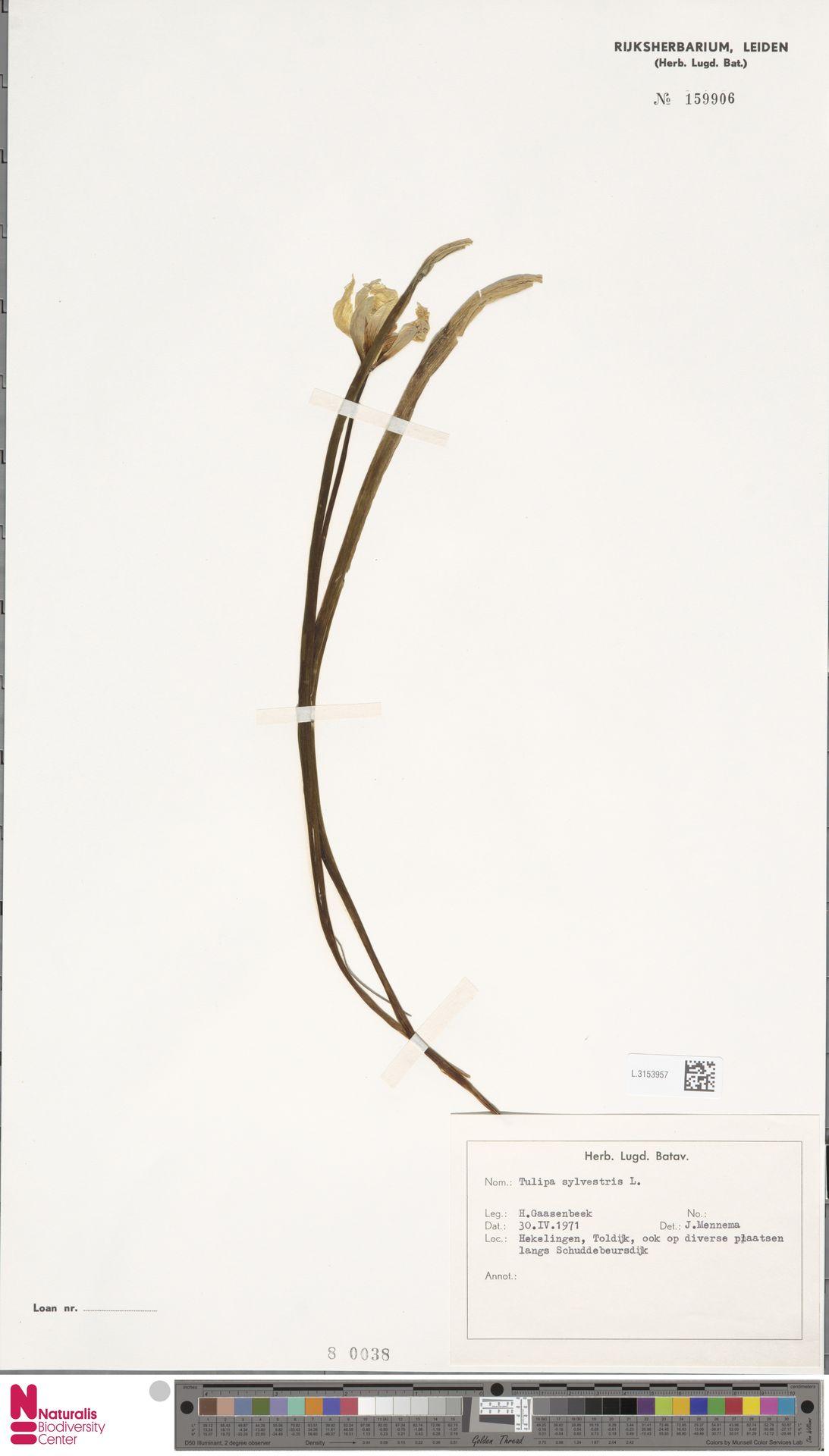 L.3153957 | Tulipa sylvestris L.