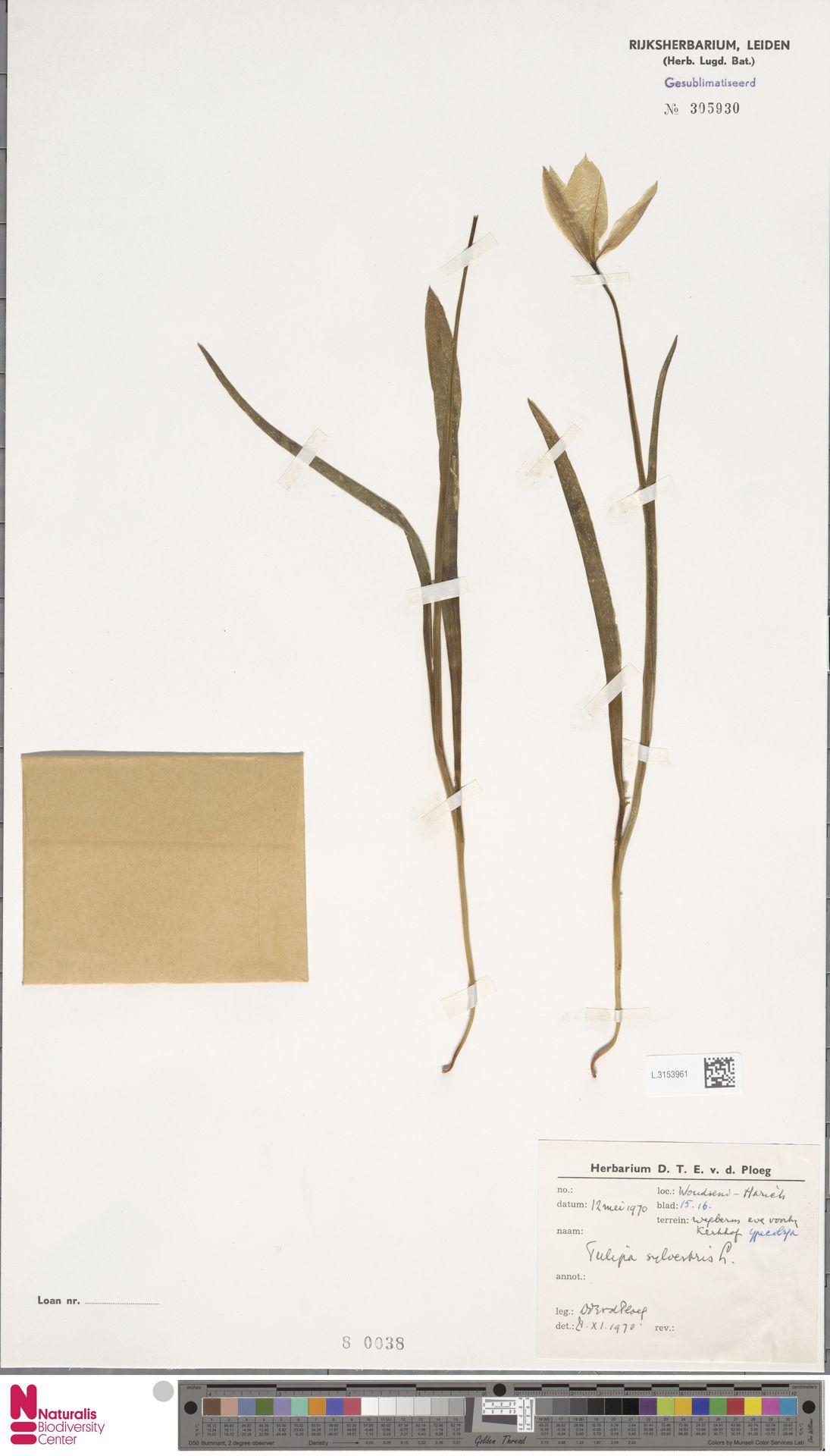 L.3153961   Tulipa sylvestris L.