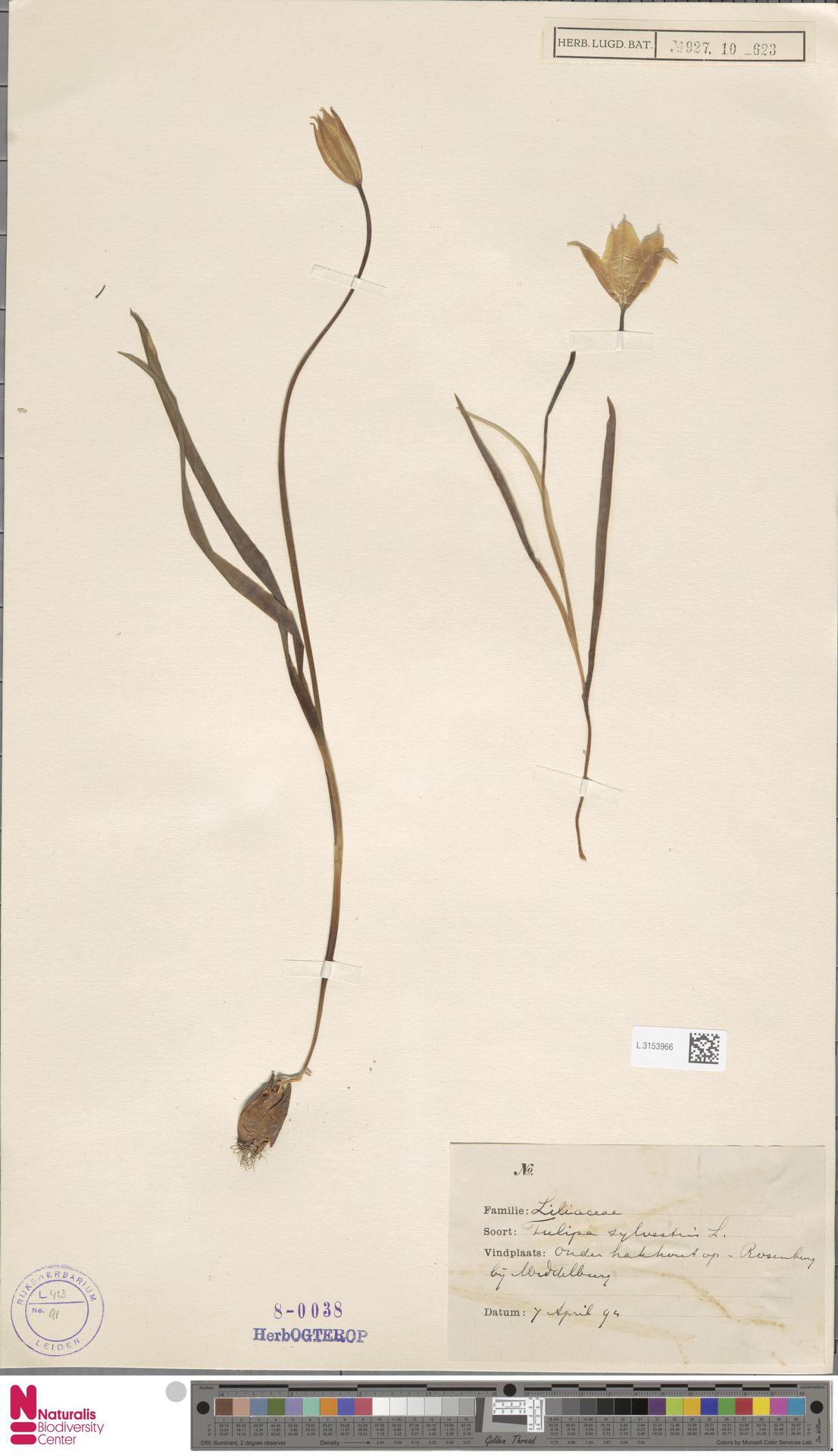 L.3153966 | Tulipa sylvestris L.