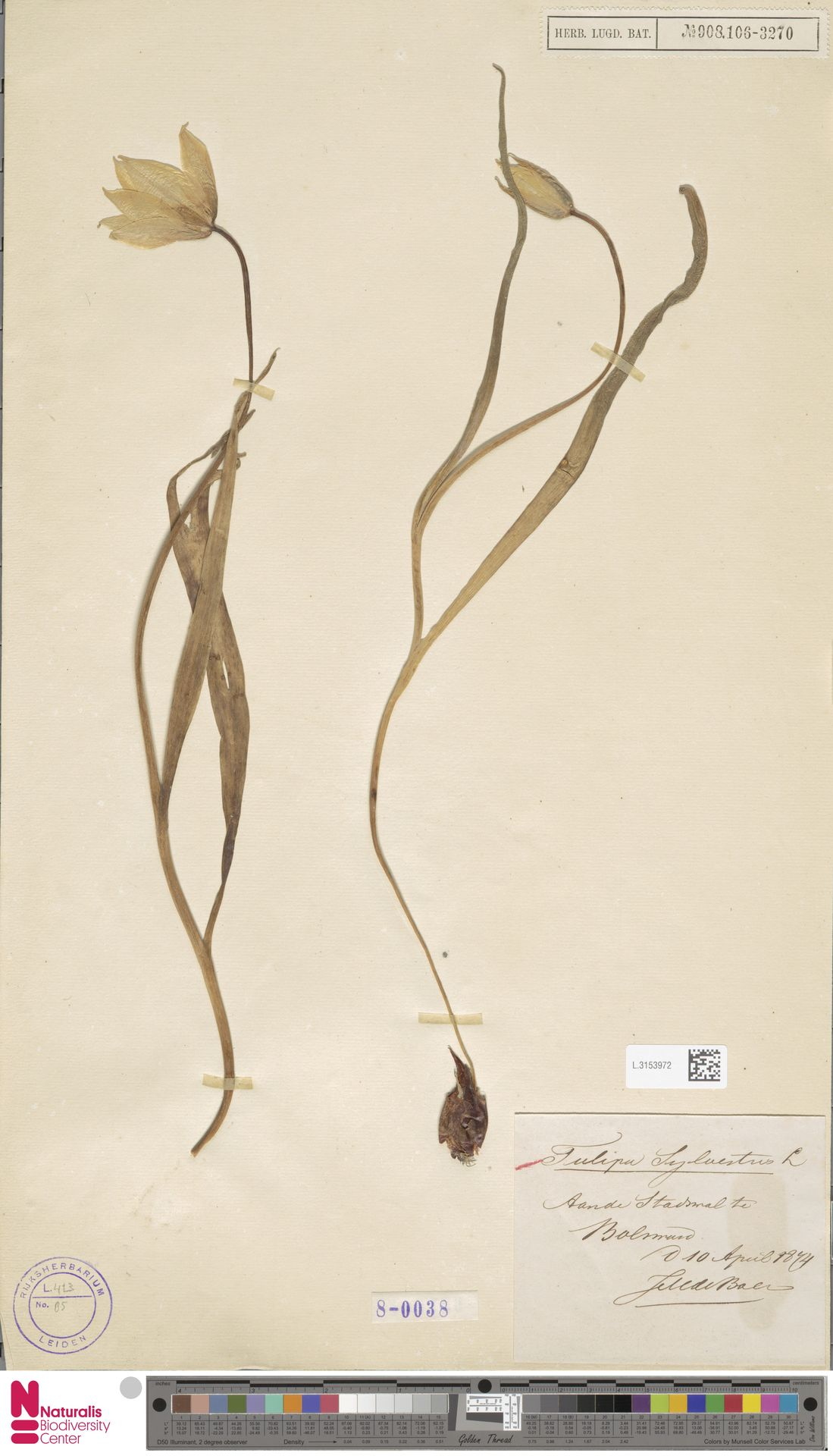 L.3153972 | Tulipa sylvestris L.