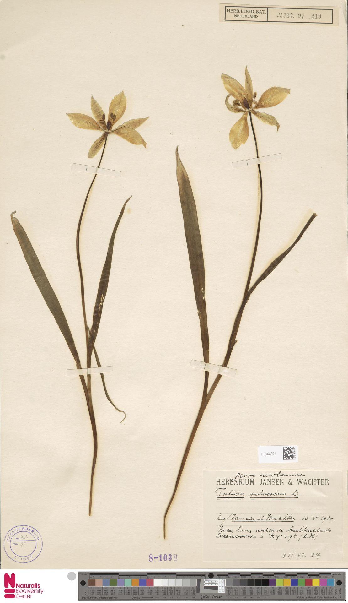 L.3153974   Tulipa sylvestris L.