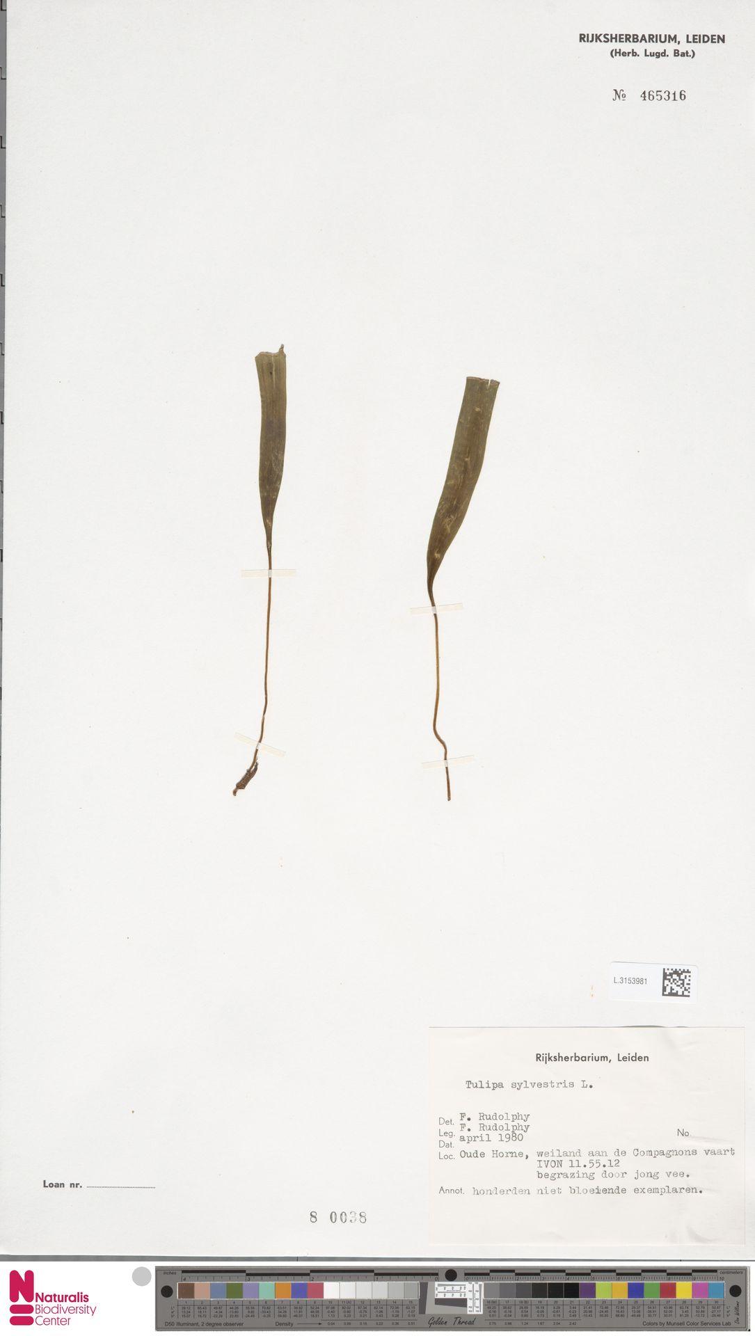 L.3153981 | Tulipa sylvestris L.