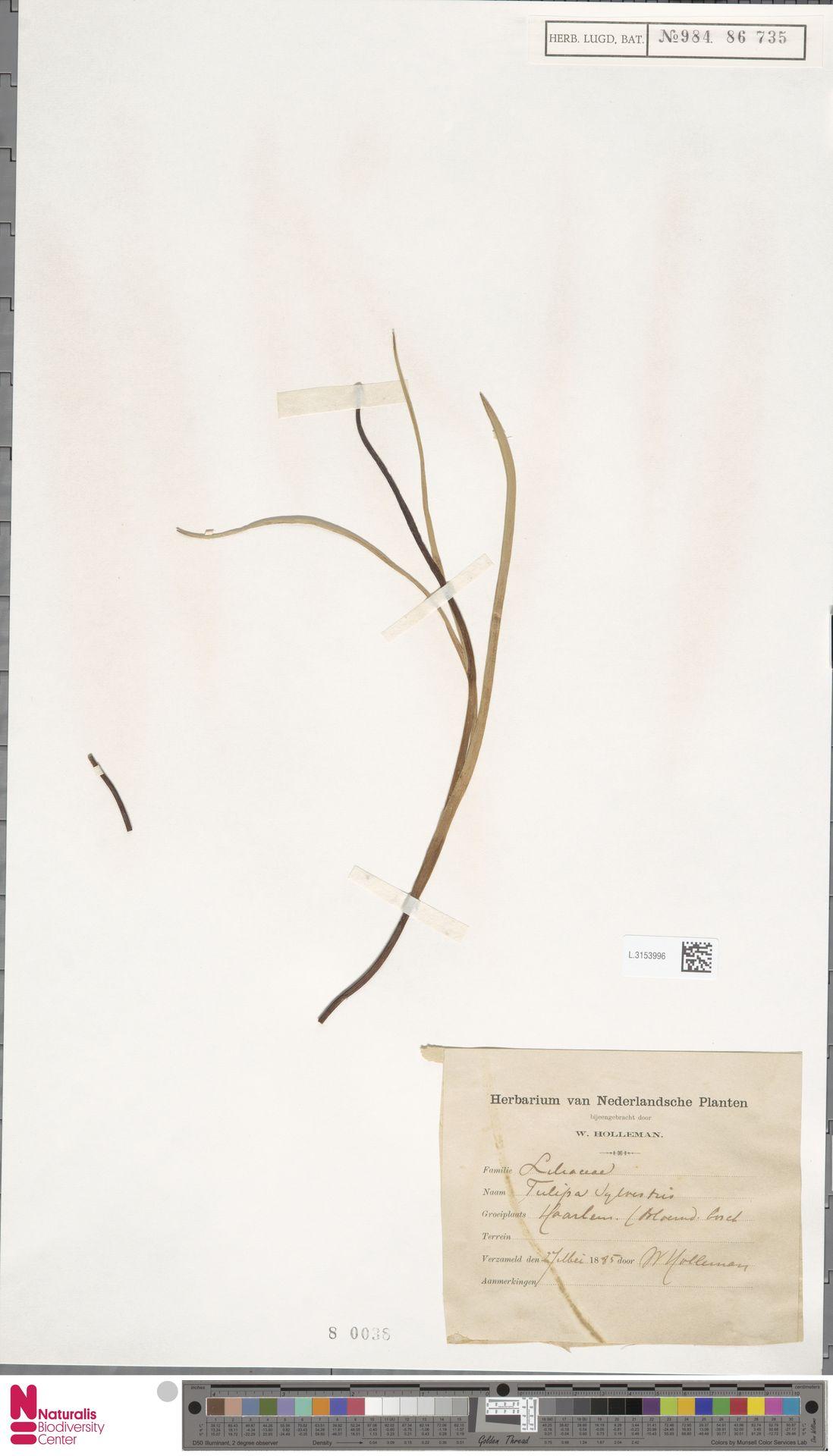 L.3153996 | Tulipa sylvestris L.