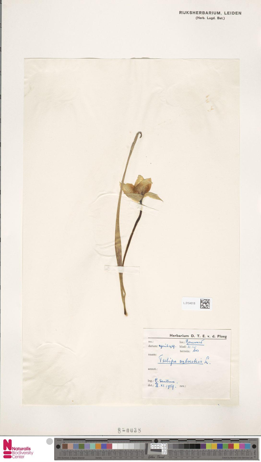 L.3154018 | Tulipa sylvestris L.