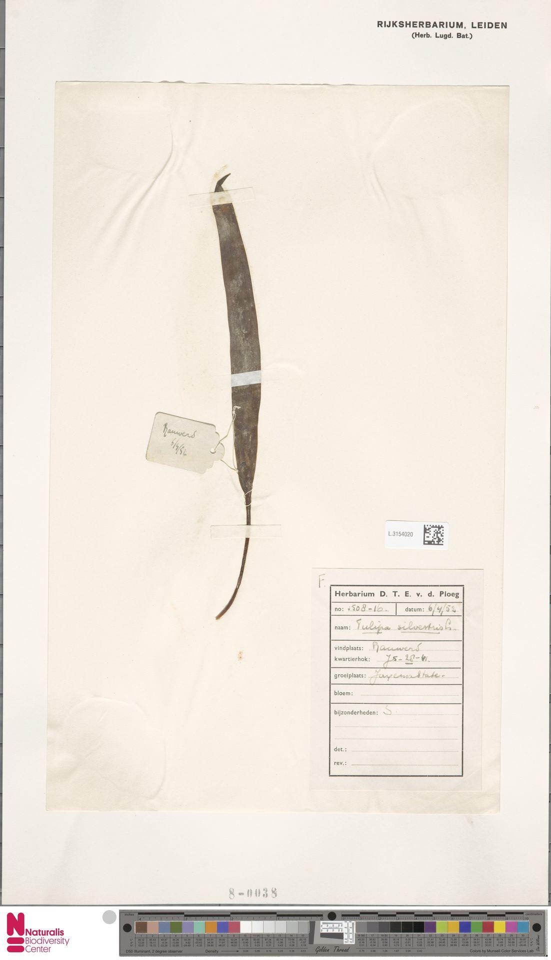 L.3154020   Tulipa sylvestris L.
