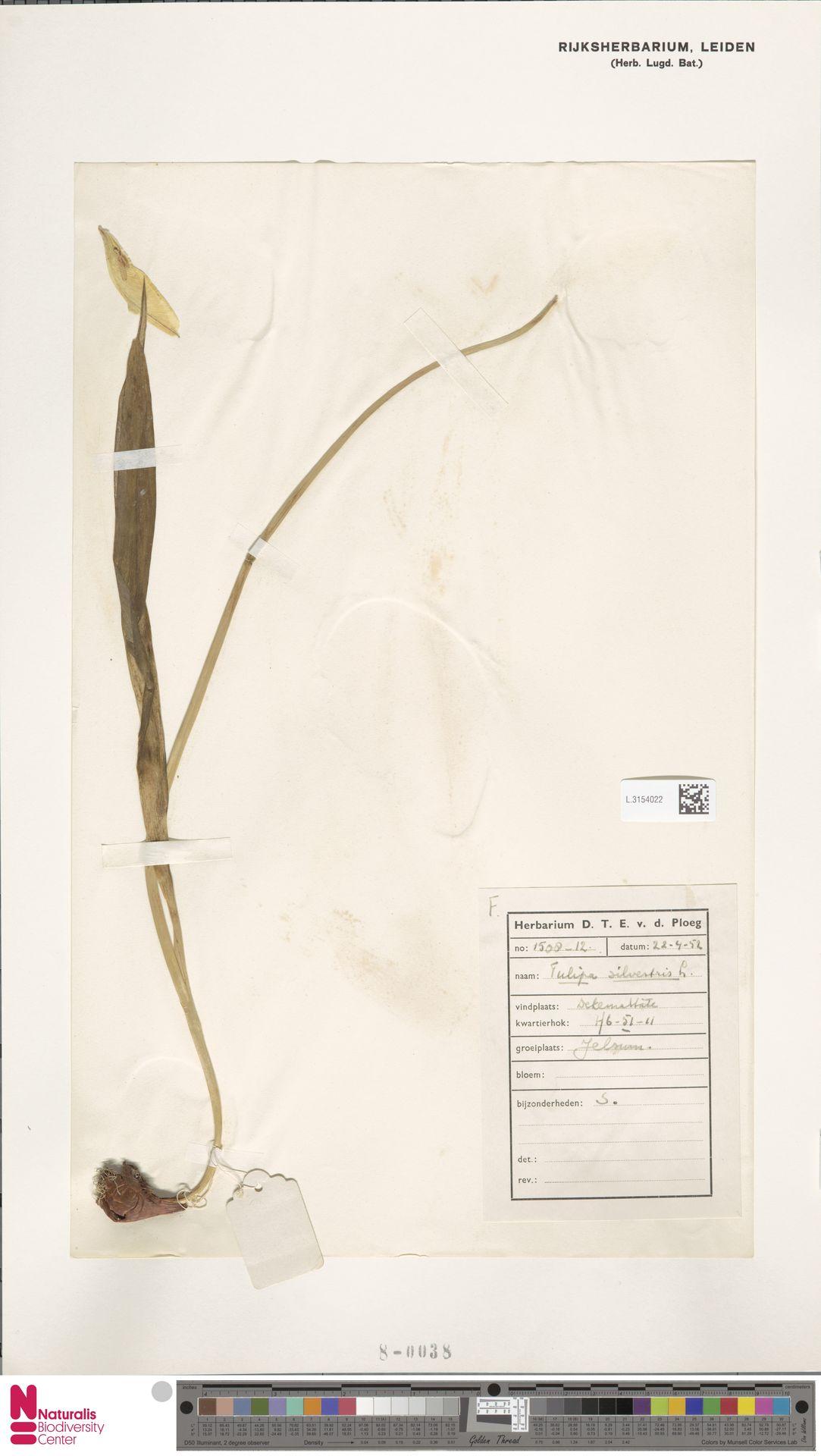L.3154022   Tulipa sylvestris L.