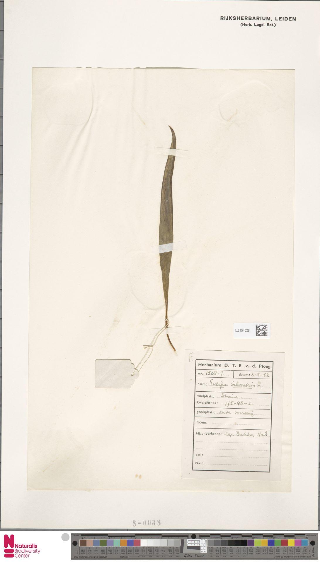 L.3154028 | Tulipa sylvestris L.