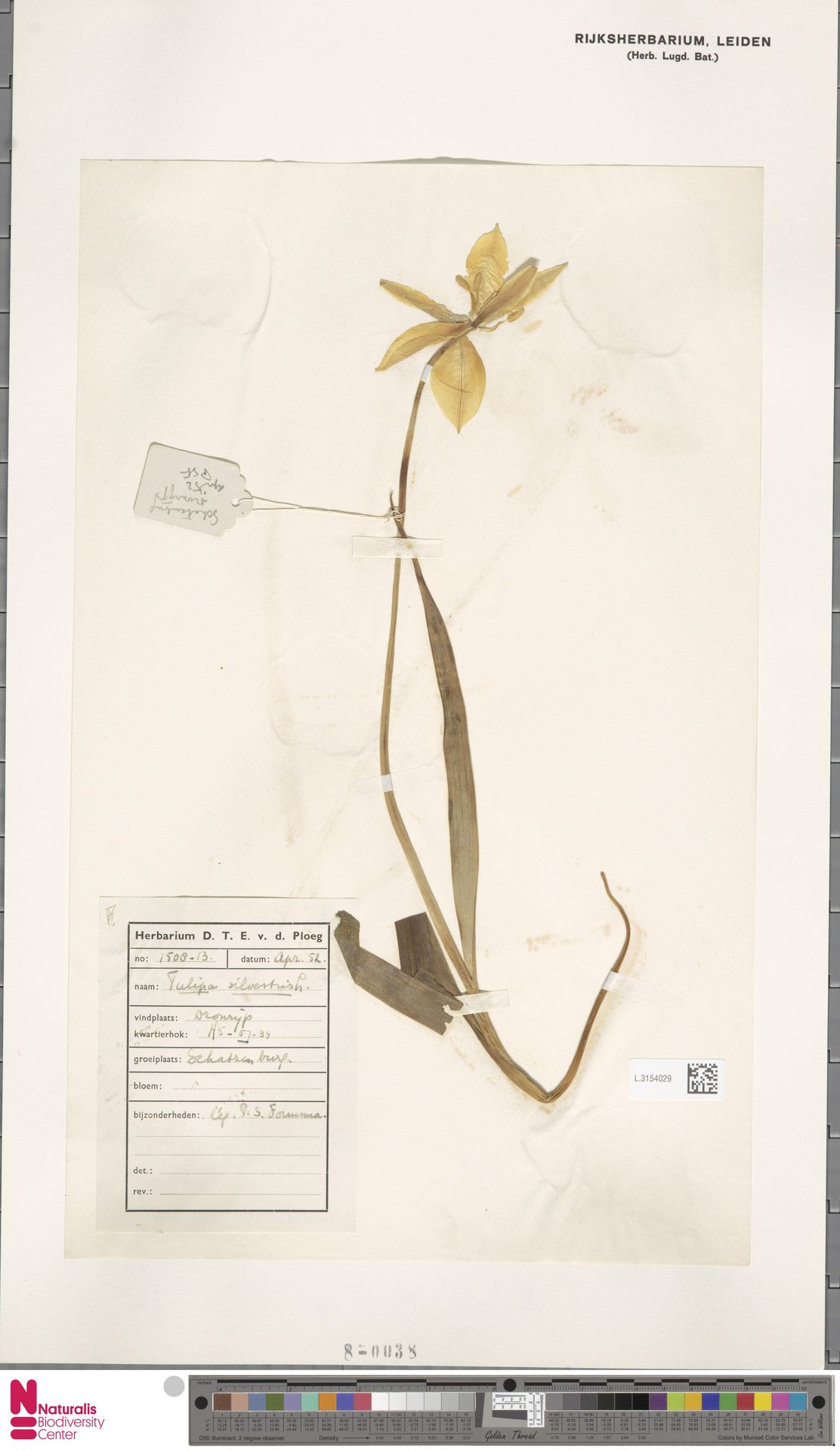 L.3154029 | Tulipa sylvestris L.