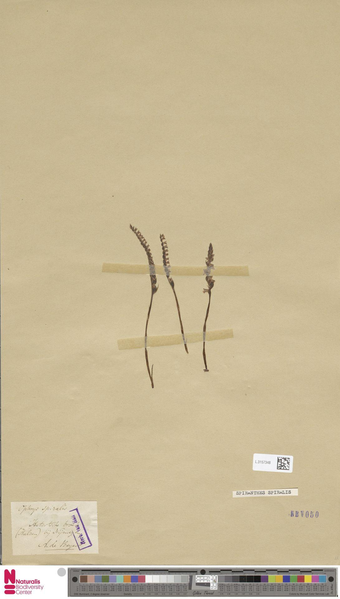 L.3157348   Spiranthes spiralis (L.) Chevall.