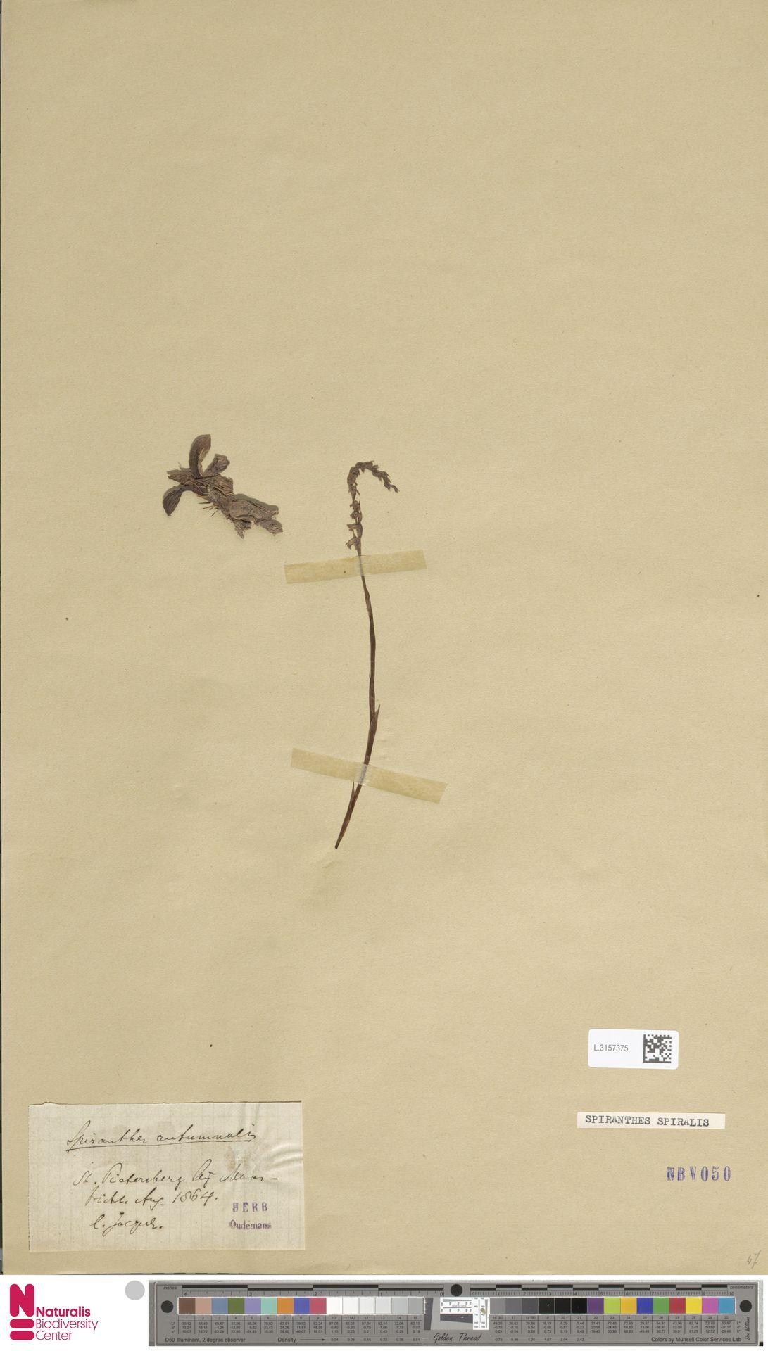 L.3157375 | Spiranthes spiralis (L.) Chevall.