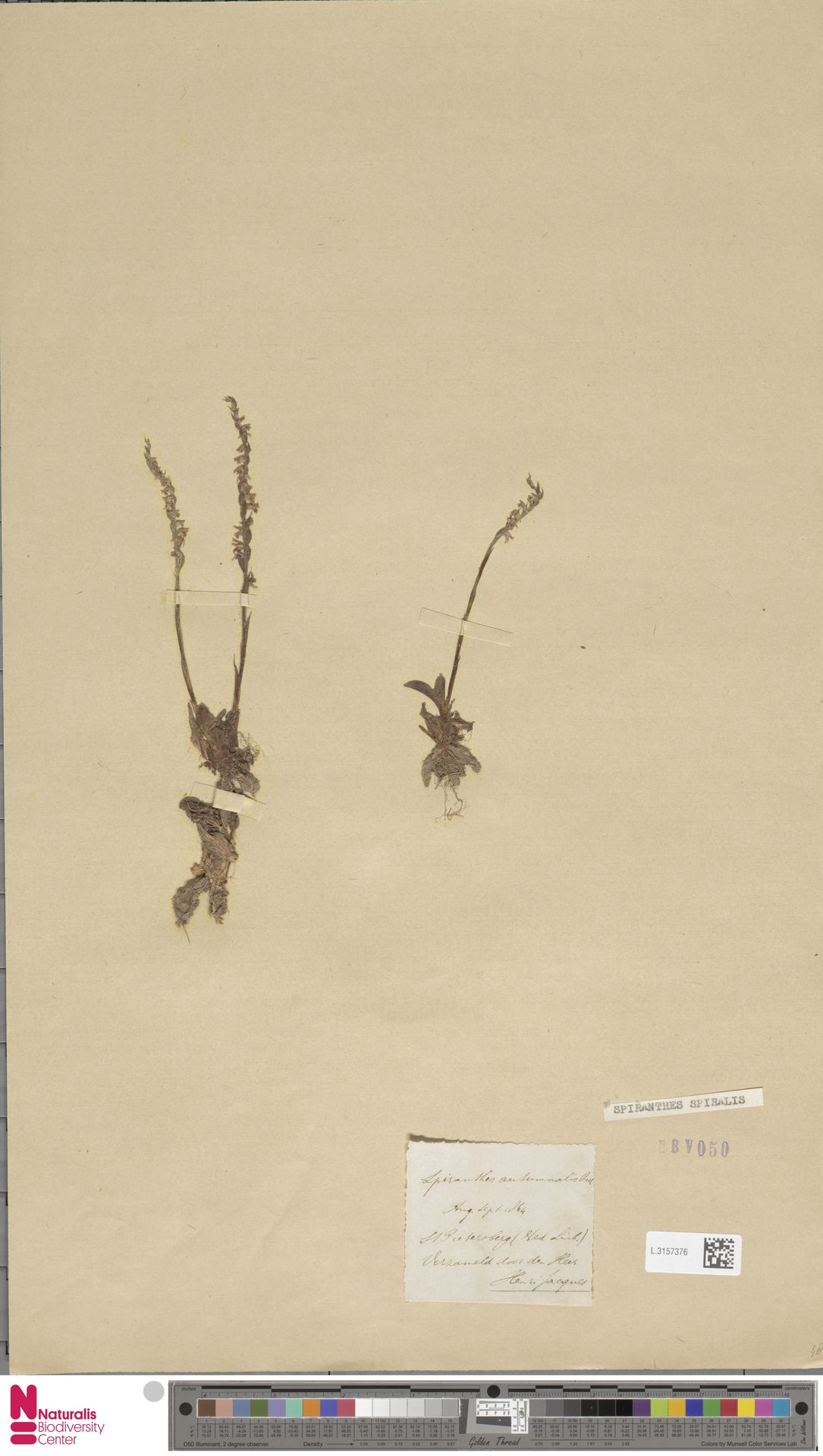 L.3157376 | Spiranthes spiralis (L.) Chevall.