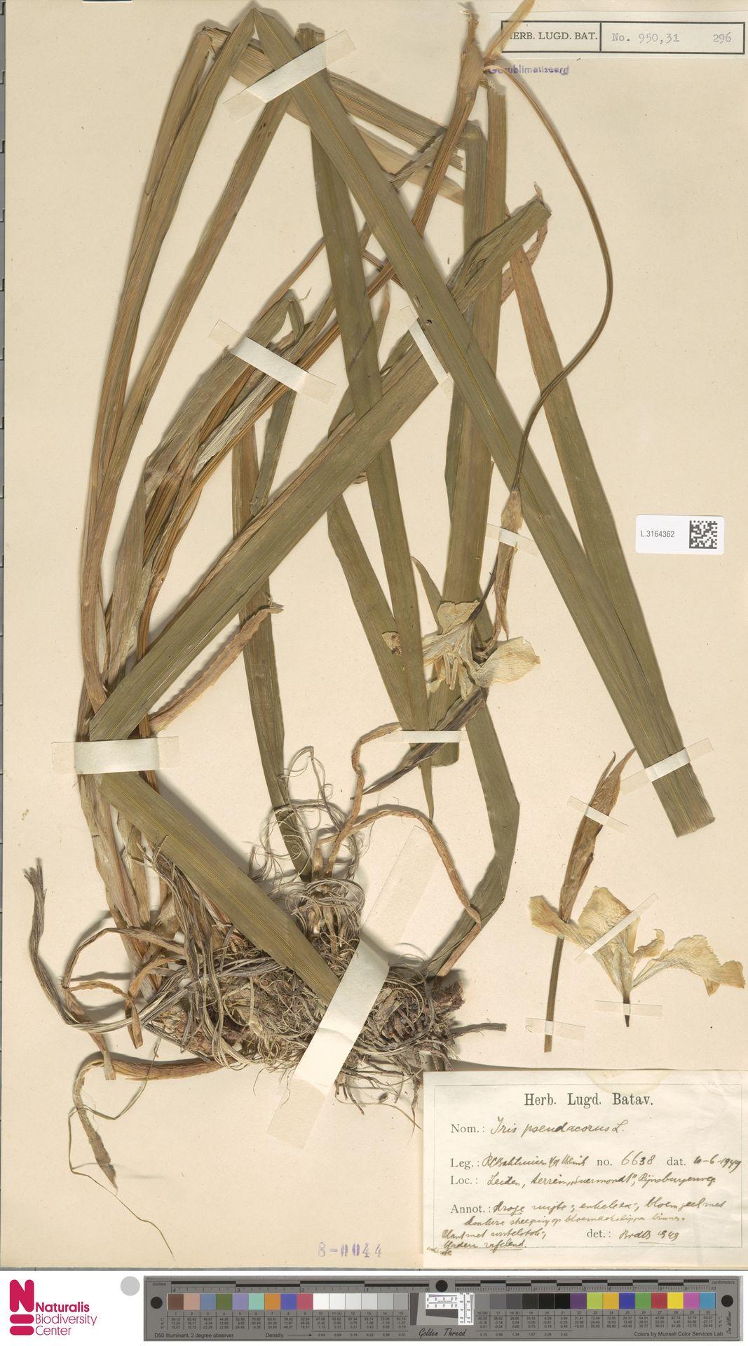 L.3164362 | Iris pseudacorus L.