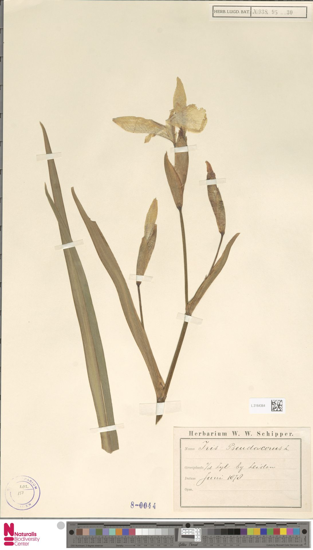 L.3164364 | Iris pseudacorus L.