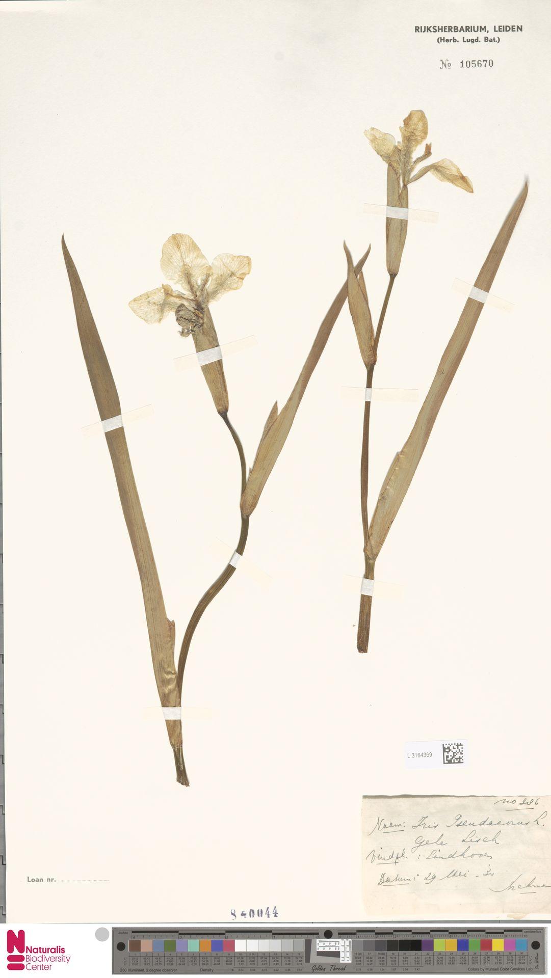 L.3164369 | Iris pseudacorus L.