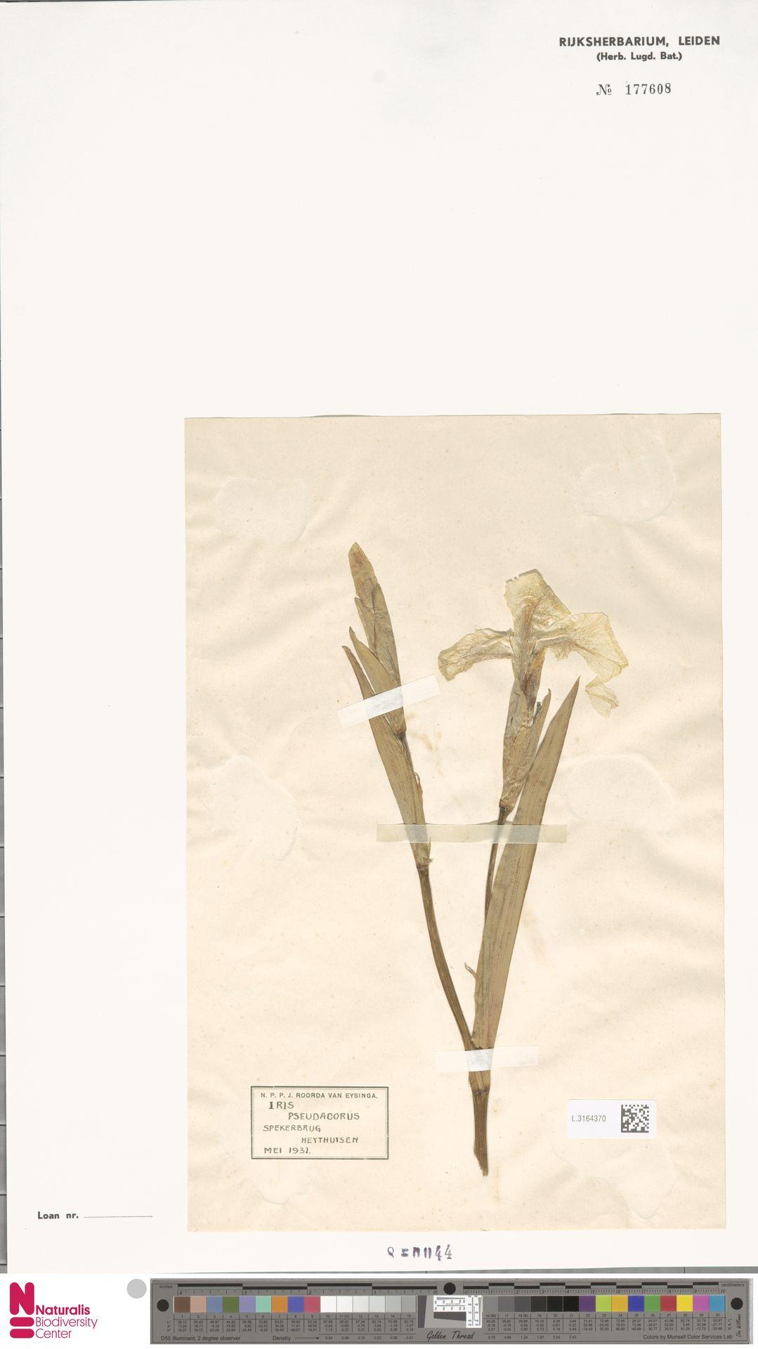 L.3164370 | Iris pseudacorus L.